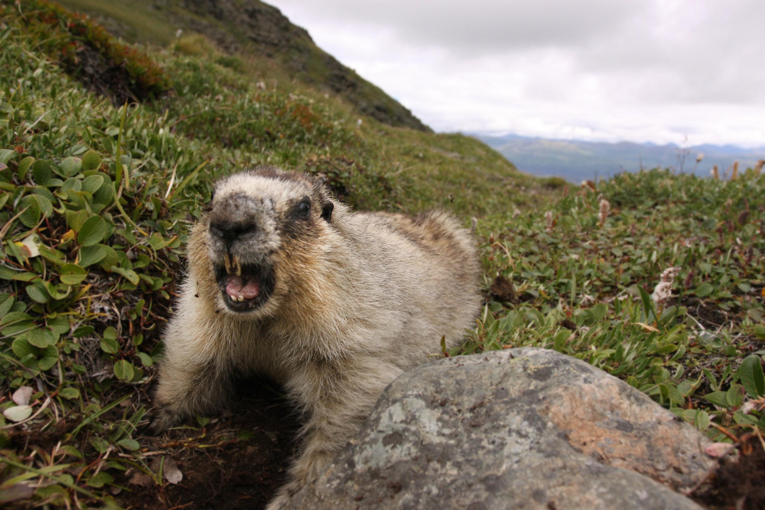 Hoary Marmots (65).jpg