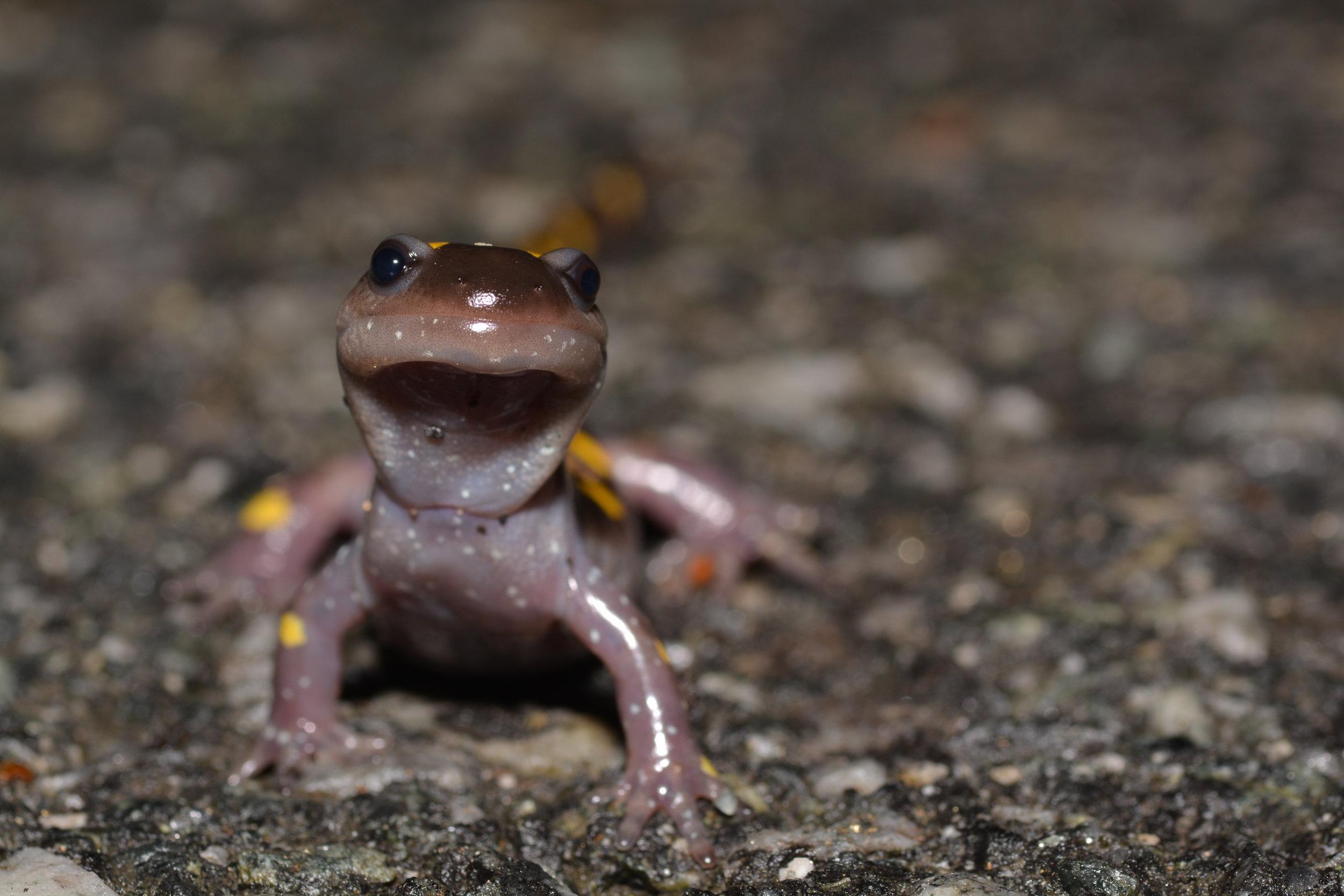 Yellow Spotted Salamander - Ambystoma maculatum