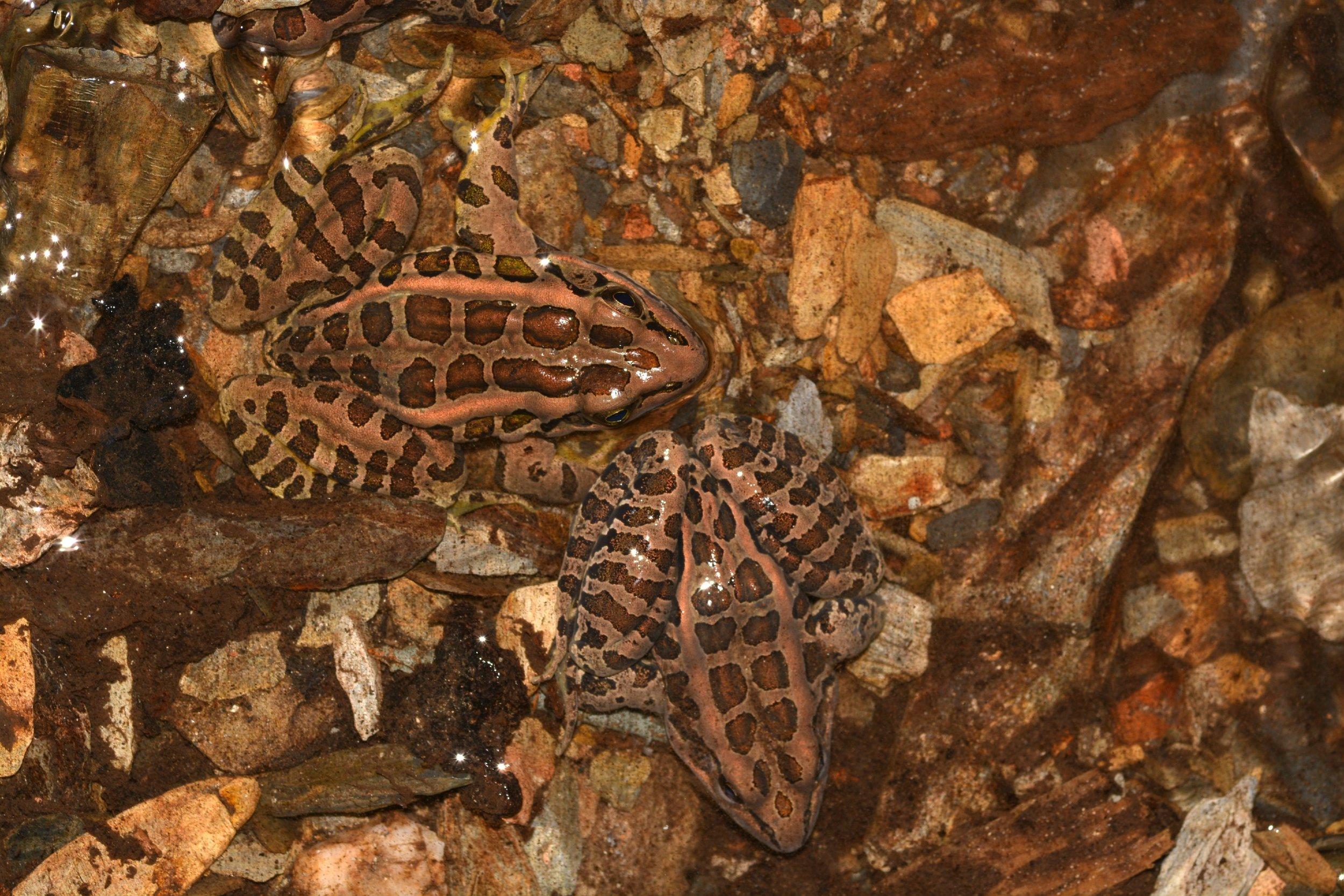 Pickerel Frogs - Lithobates palustris
