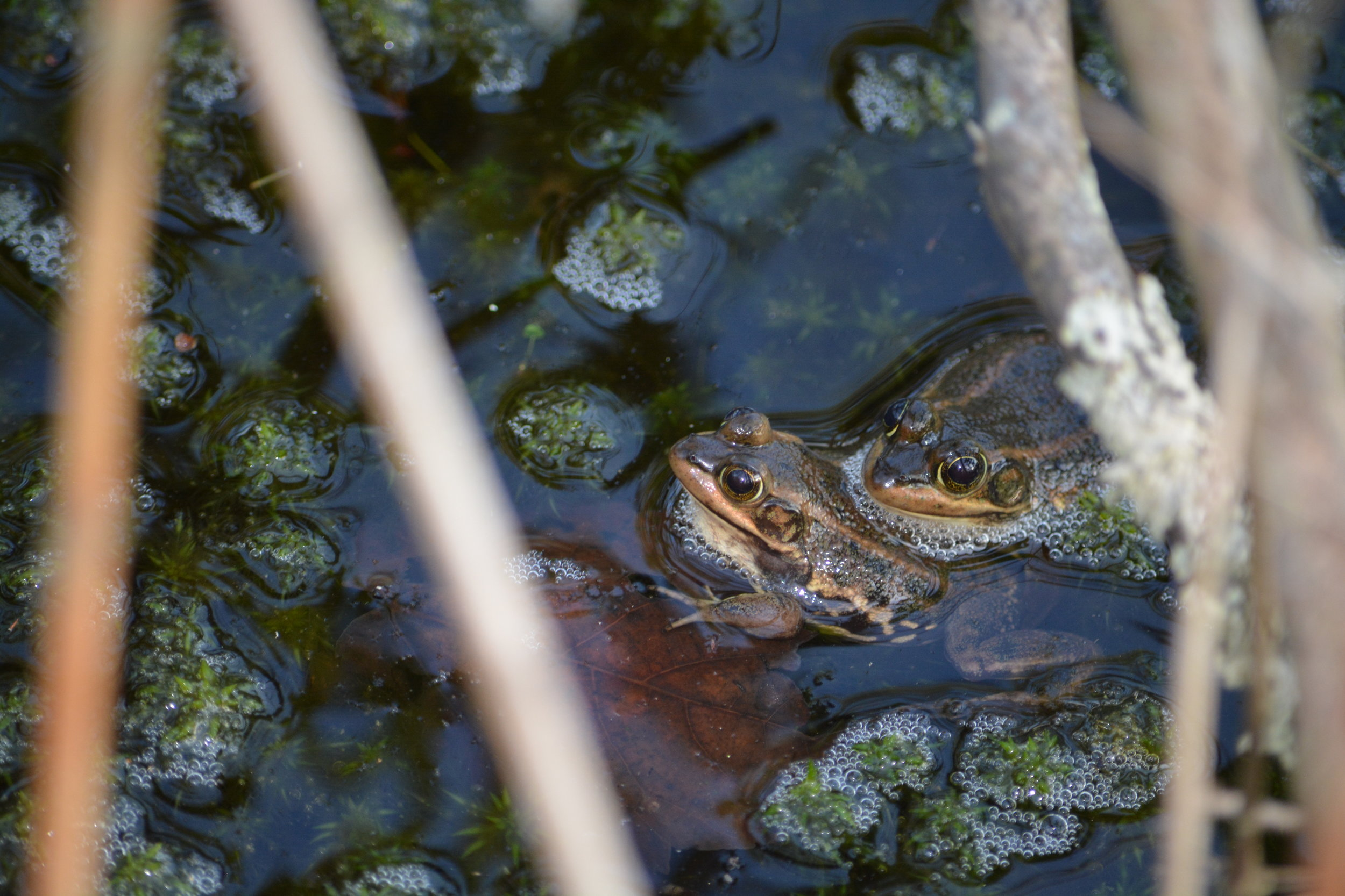 Carpenter Frogs - Lithobates virgatipes