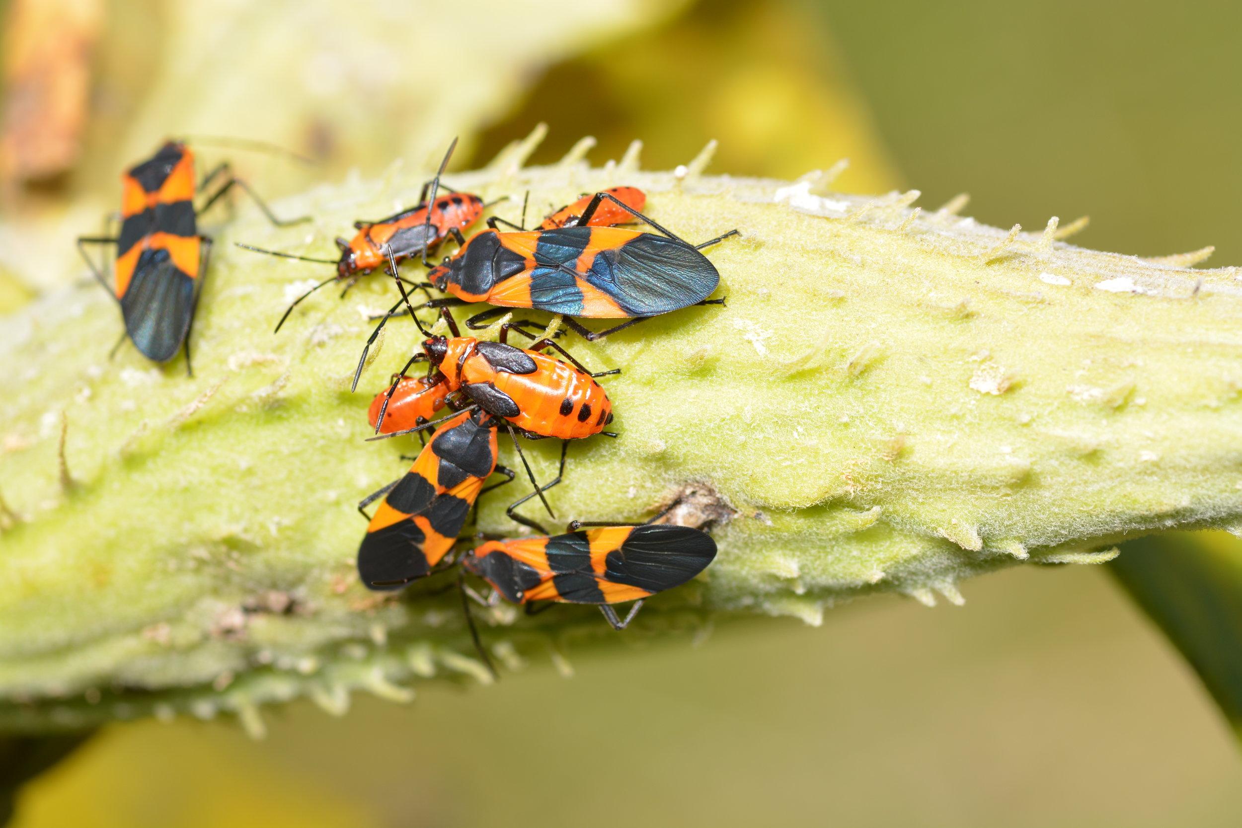 Milkweed Bugs - Oncopeltus fasciatus, Order: Hemiptera
