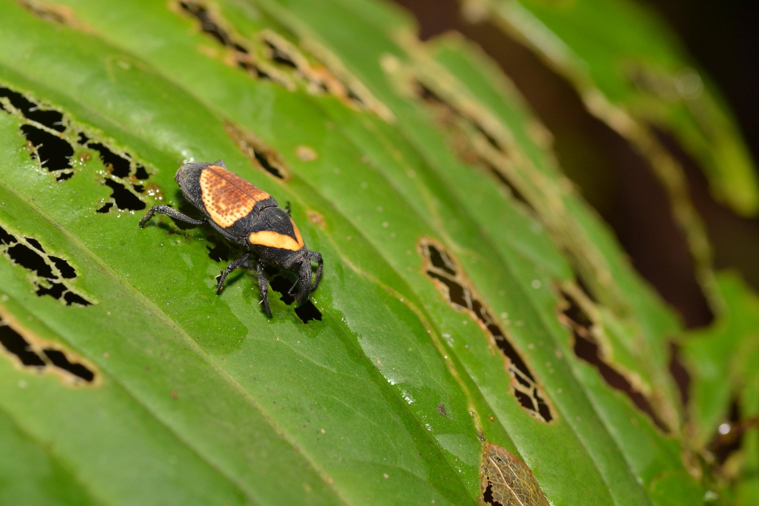 Weevil species, Order: Coleoptera