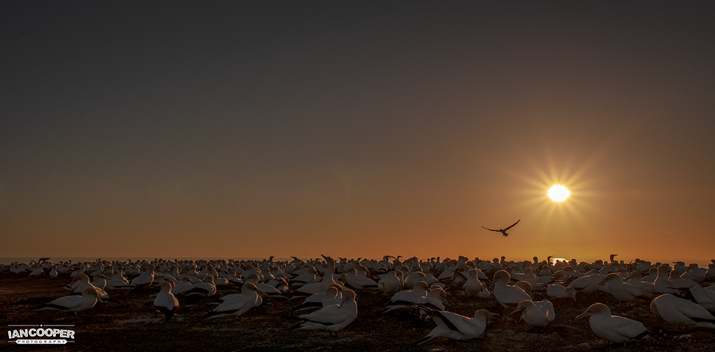 Gannet Sunrise (small).png