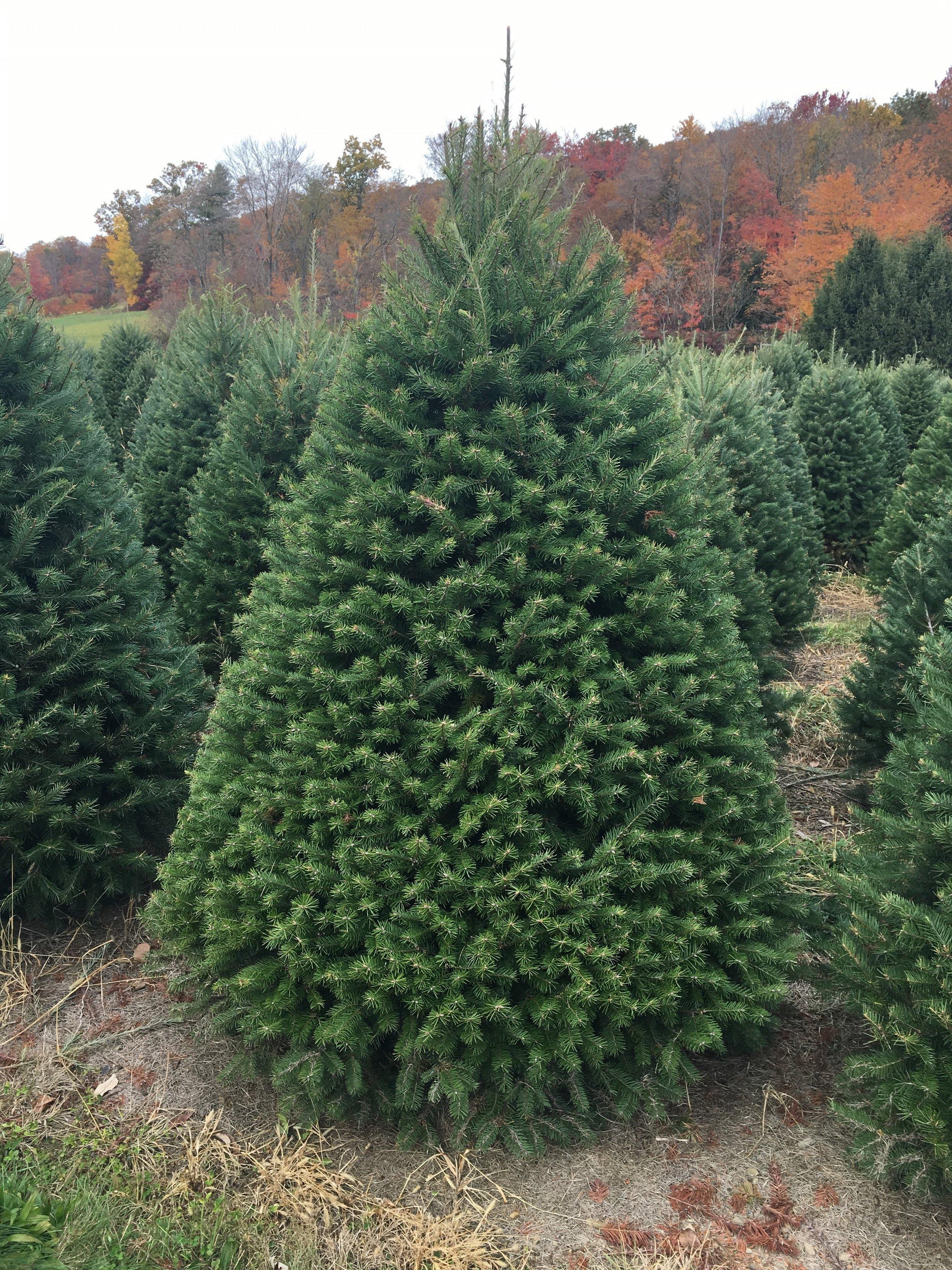 Douglas Fir Tree Delivery -