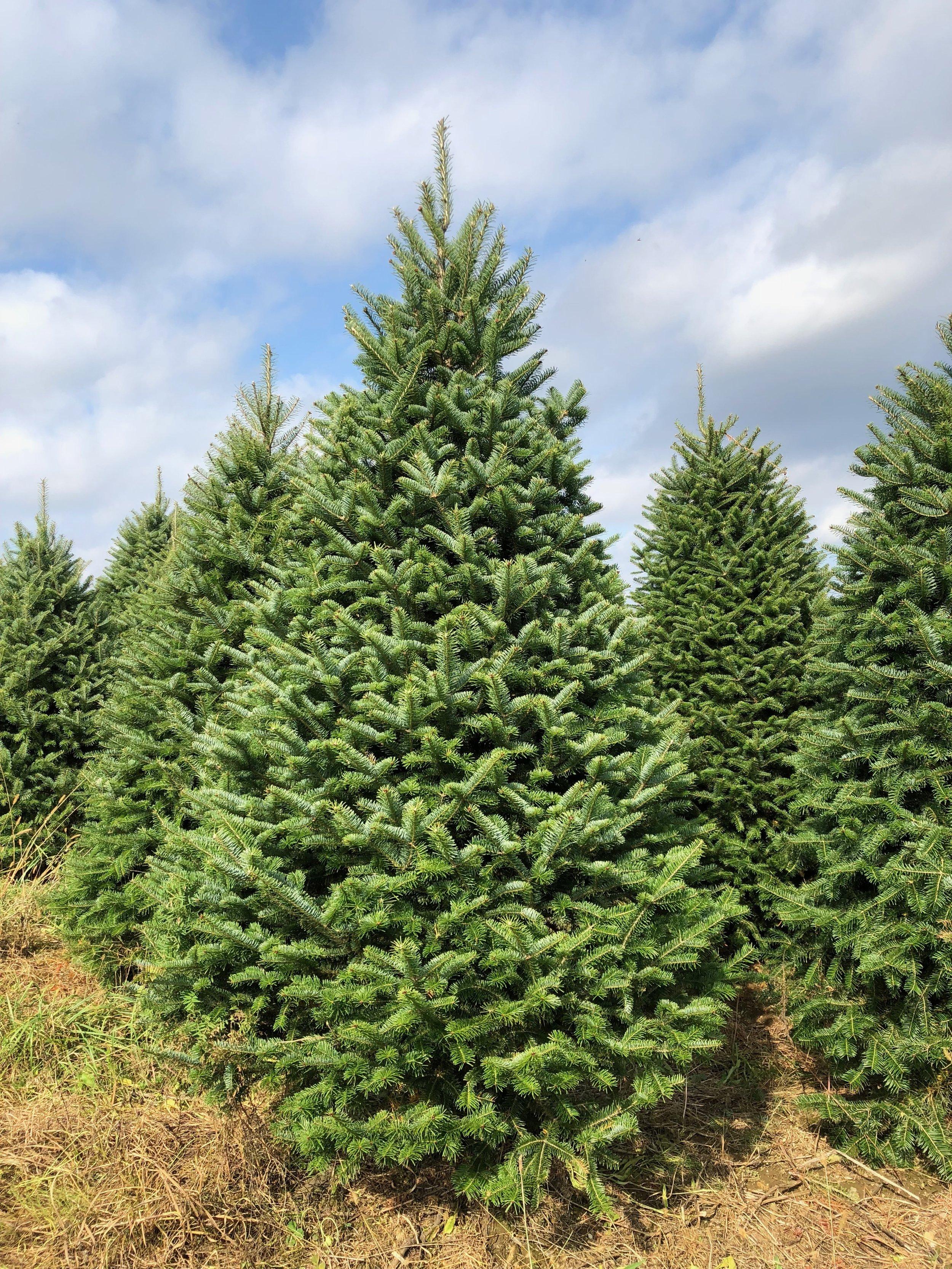 Fraser Fir Tree Delivery -