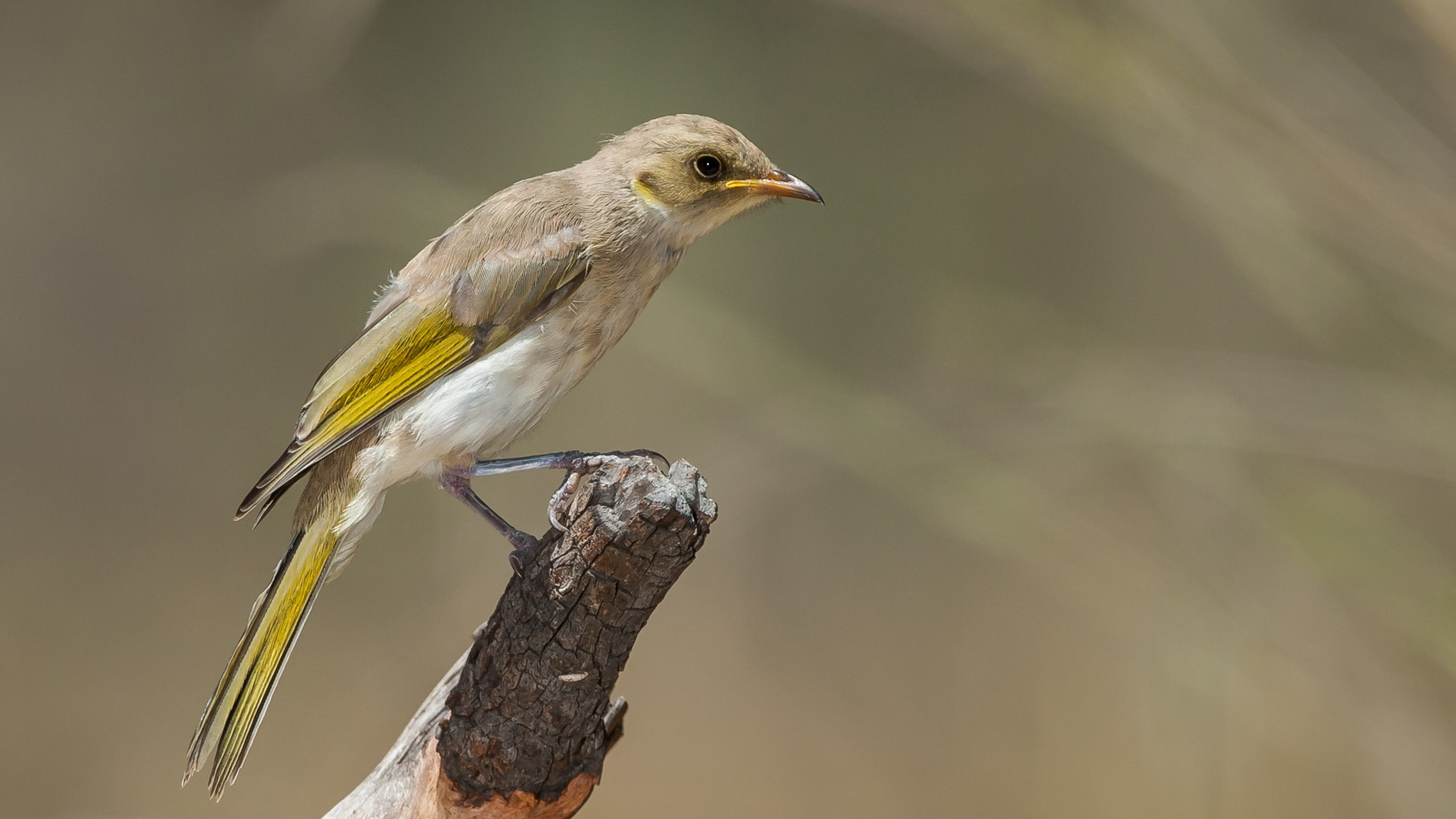 Fuscous Honeyeater_-778.jpg