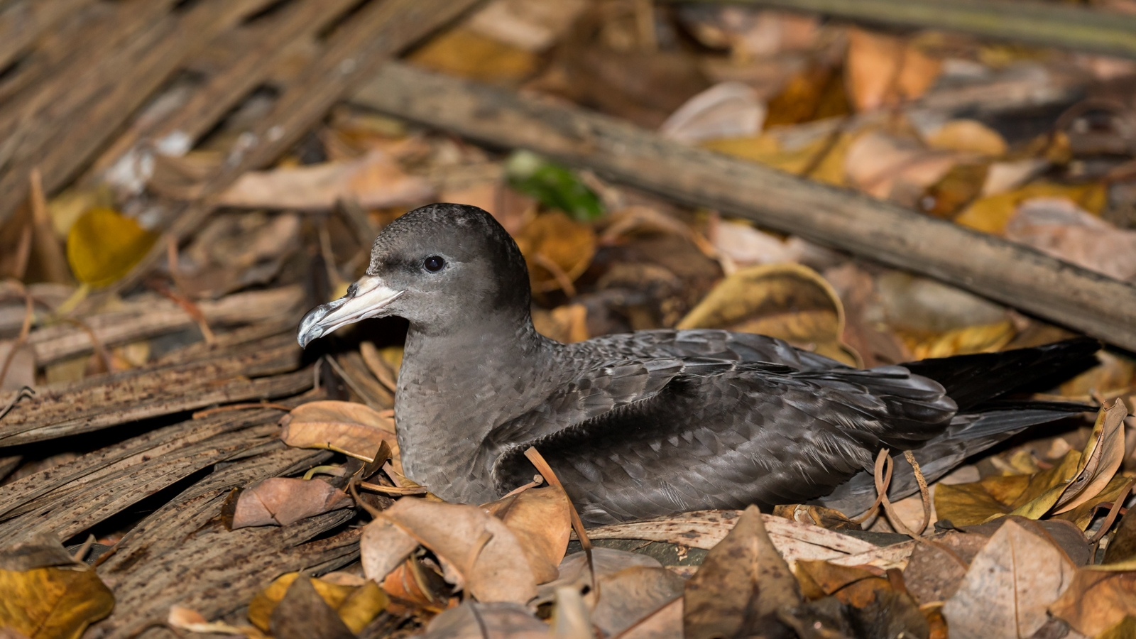 Flesh-footed Shearwater_David Stowe-5452.jpg