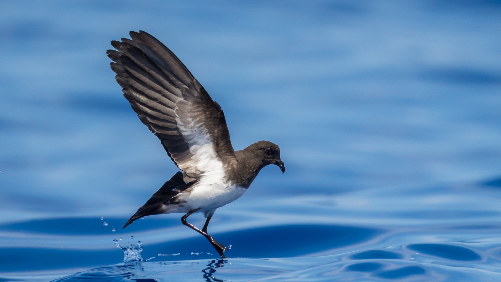 White-bellied Storm-petrel_David Stowe-6205.jpg