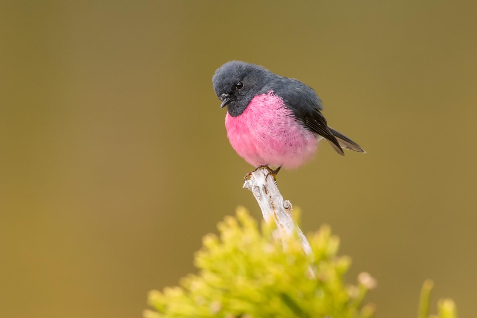 FLOCK pink robin-1182-3.jpg