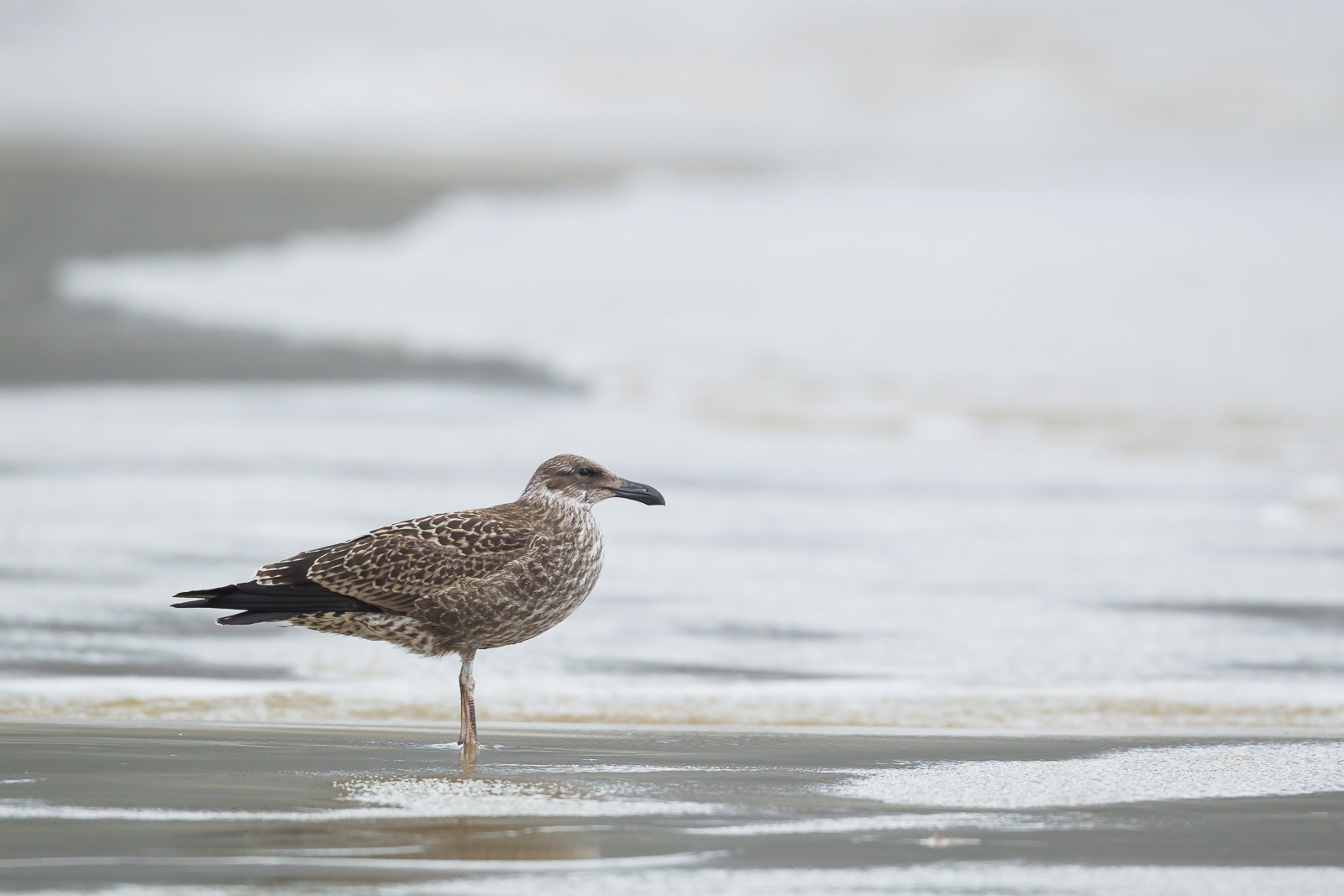 Kelp Gull_David Stowe-7439-2.jpg
