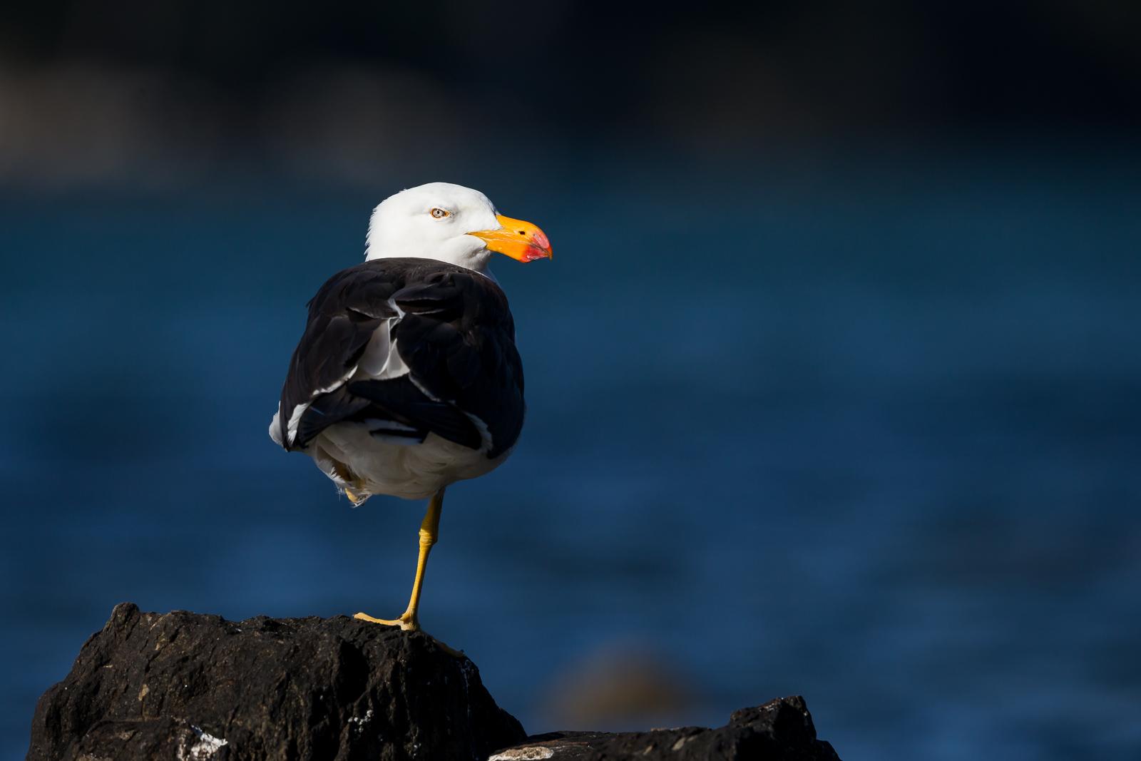 Pacific Gull_David_Stowe-9757-2.jpg