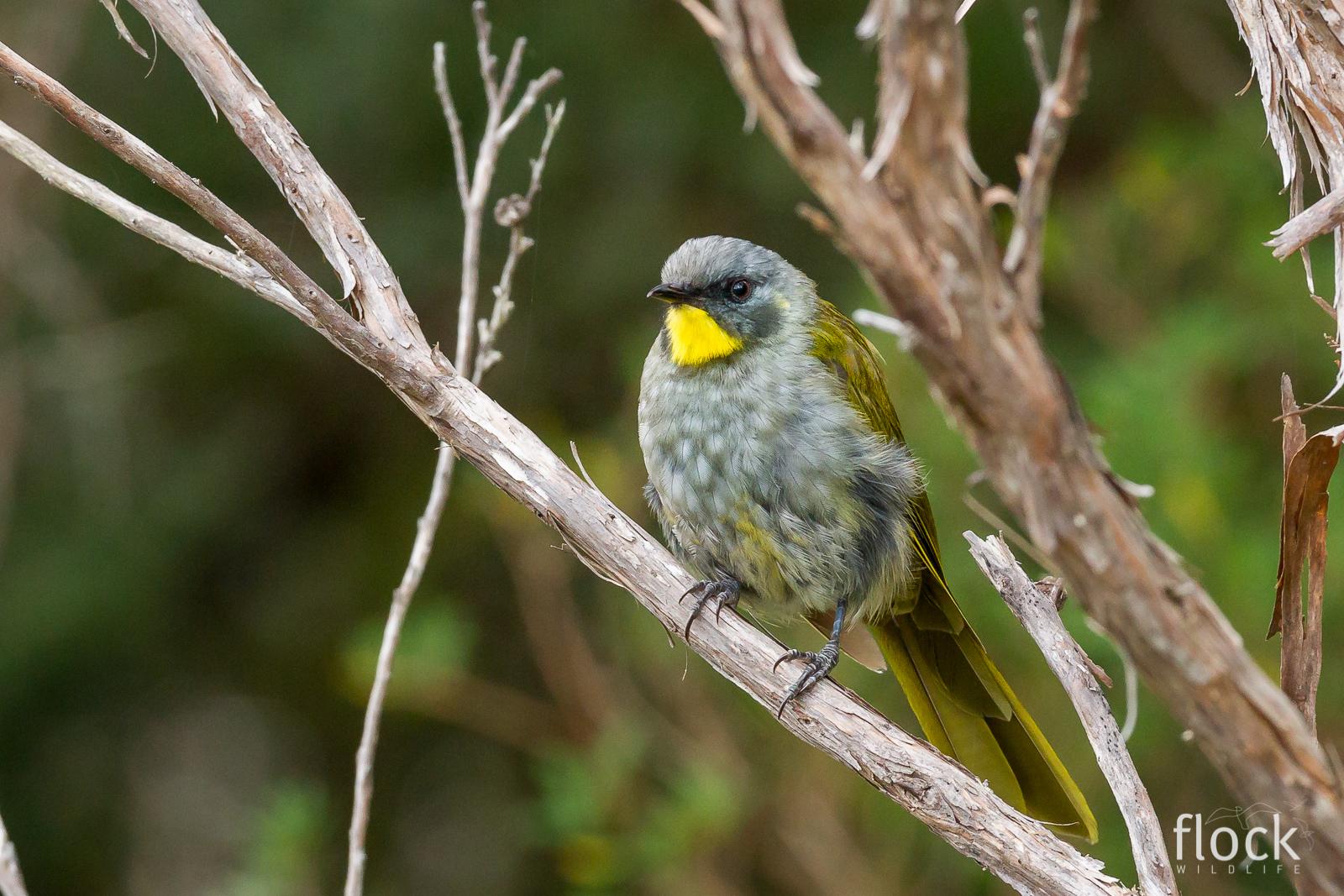 Yellow-throated Honeyeater_David Stowe-2.jpg