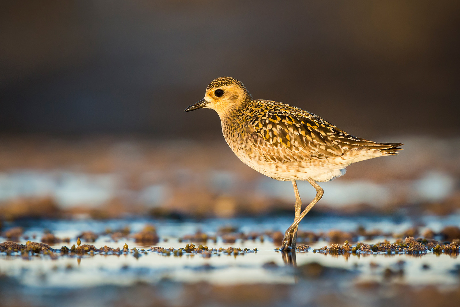 David Stowe_PacificGoldenPlover_Portrait.jpg