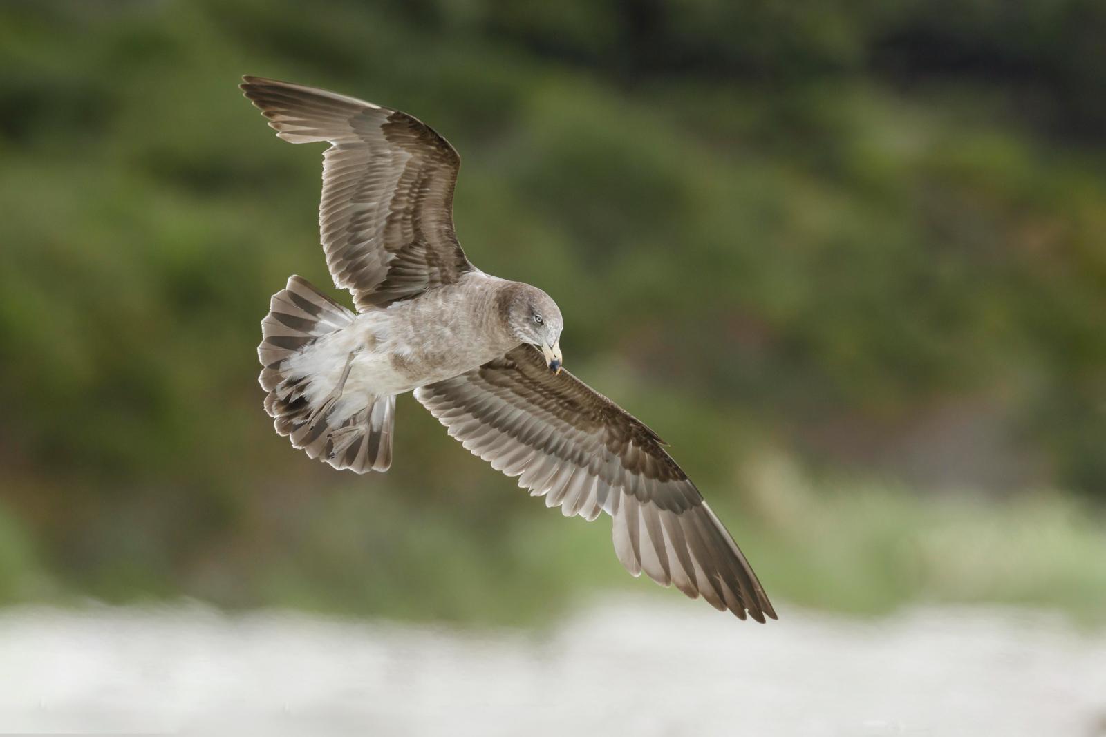 Pacific Gull_David Stowe-1222.jpg