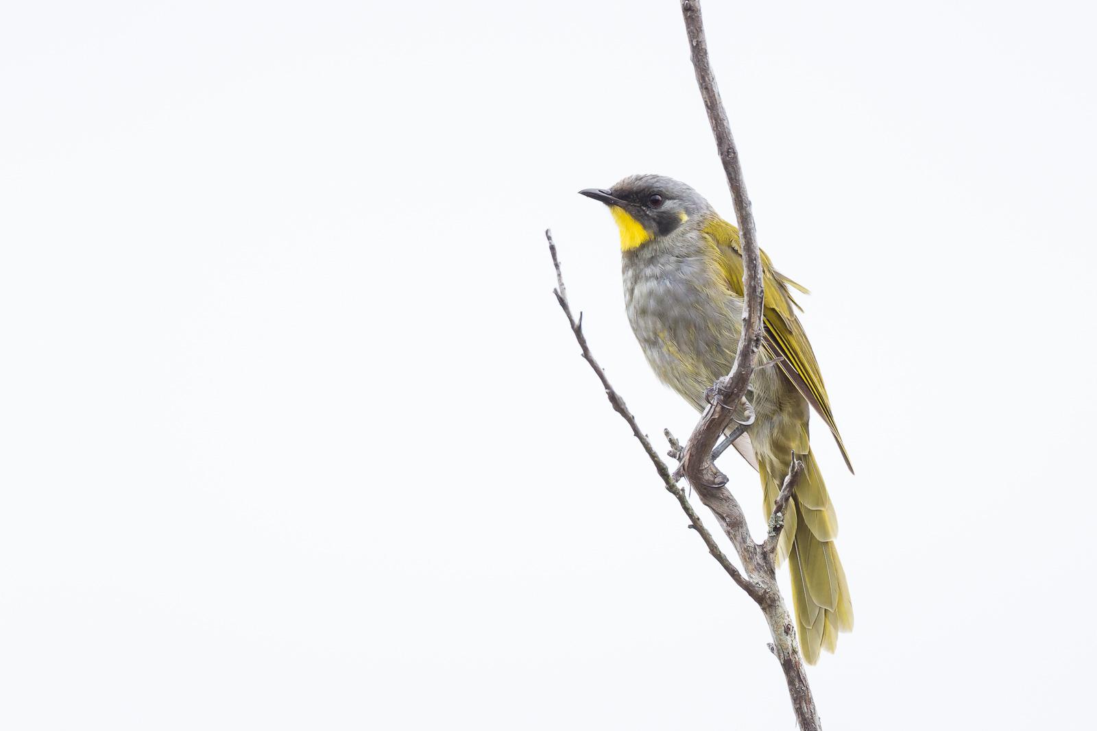 Yellow-throated Honeyeater_David Stowe-6882-2.jpg