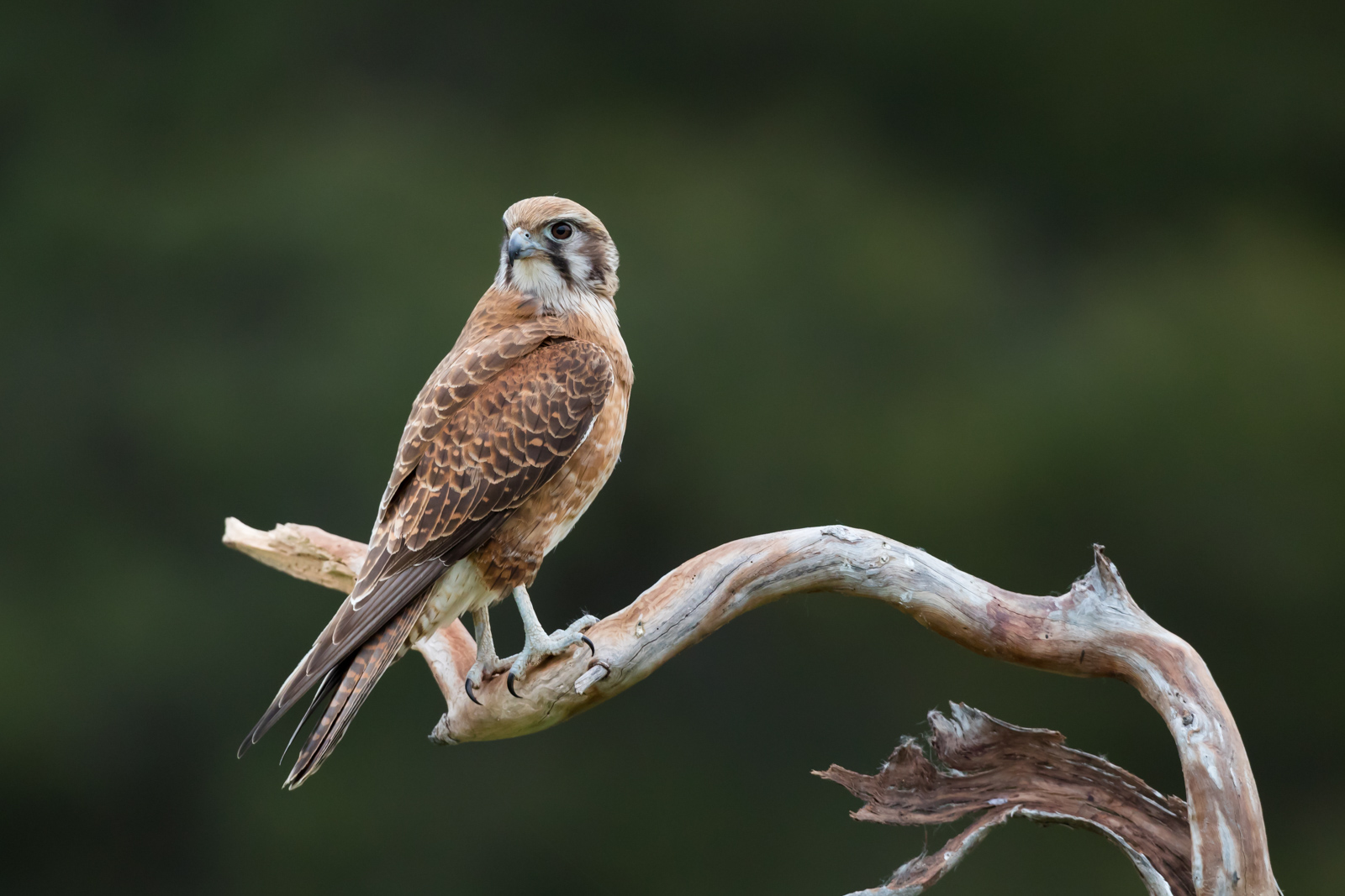 Brown Falcon_David Stowe-4199.jpg