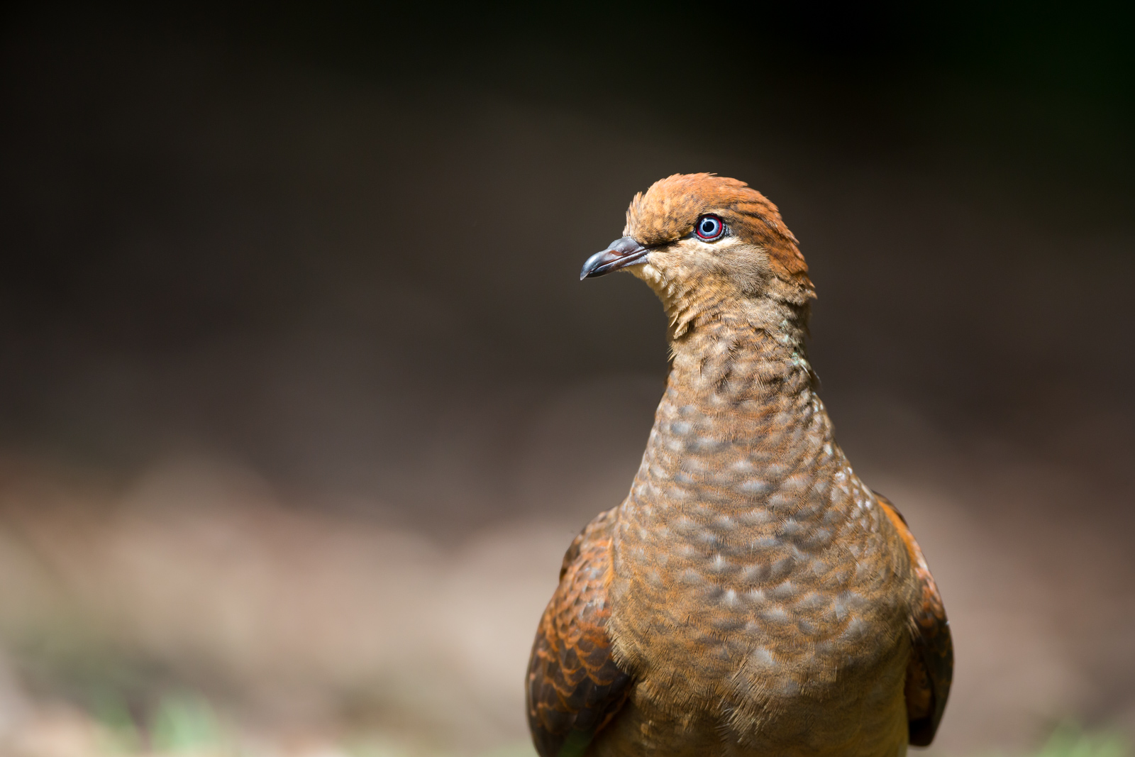 Brown Cuckoo-Dove_David Stowe-8693.jpg