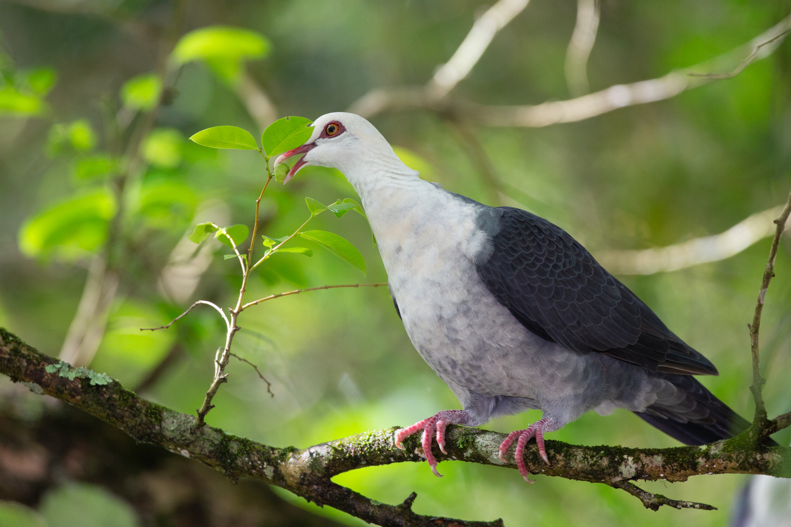 White-headed Pigeon_David Stowe-8371.jpg