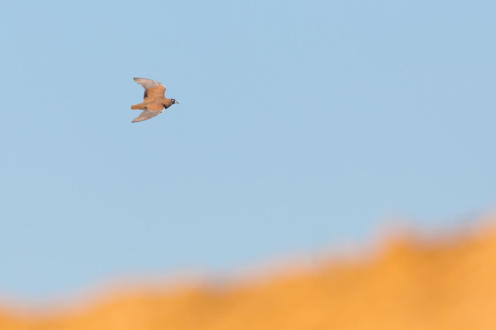 Flock Bronzewing_David Stowe-2041.jpg