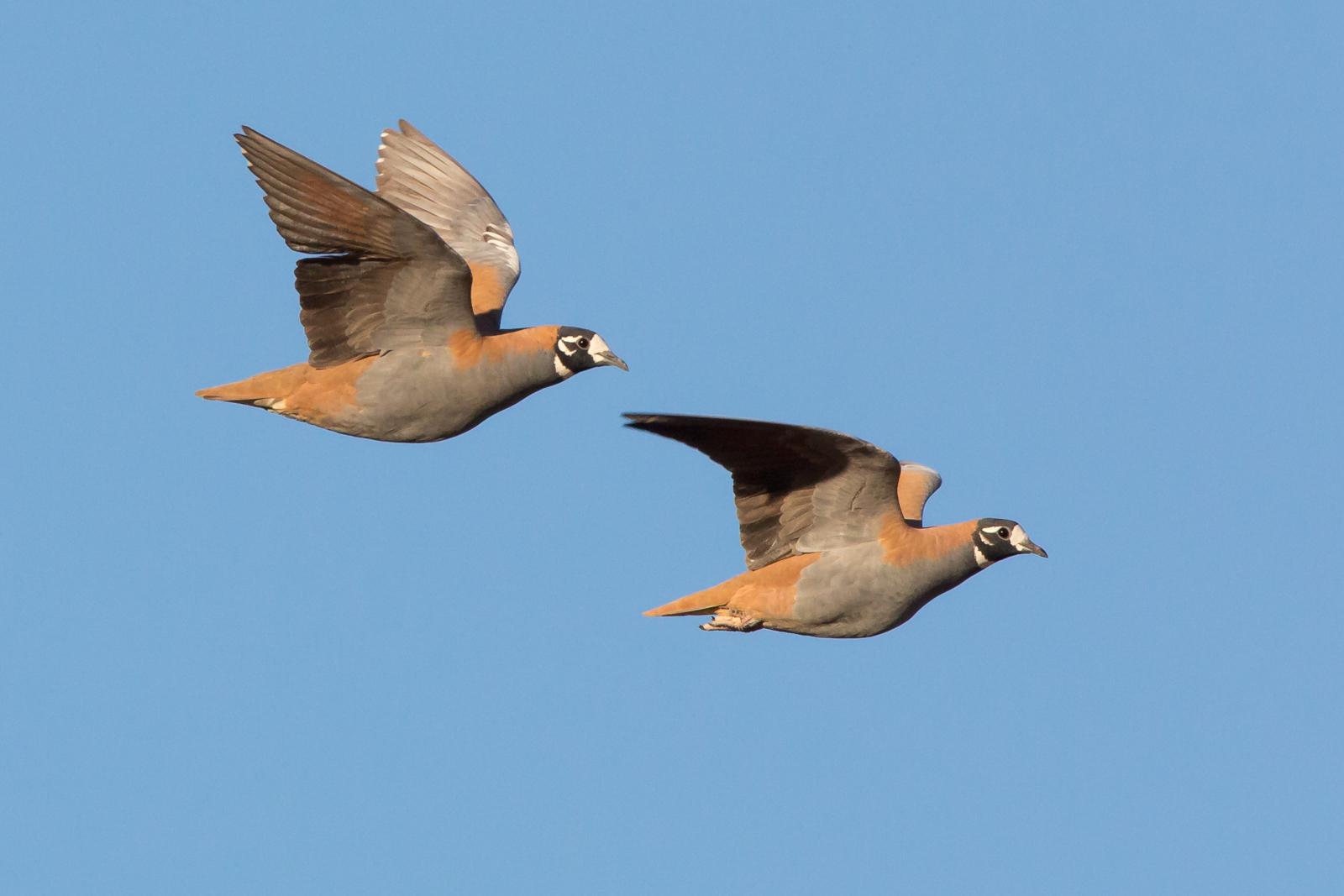Flock Bronzewing_David Stowe-2095.jpg