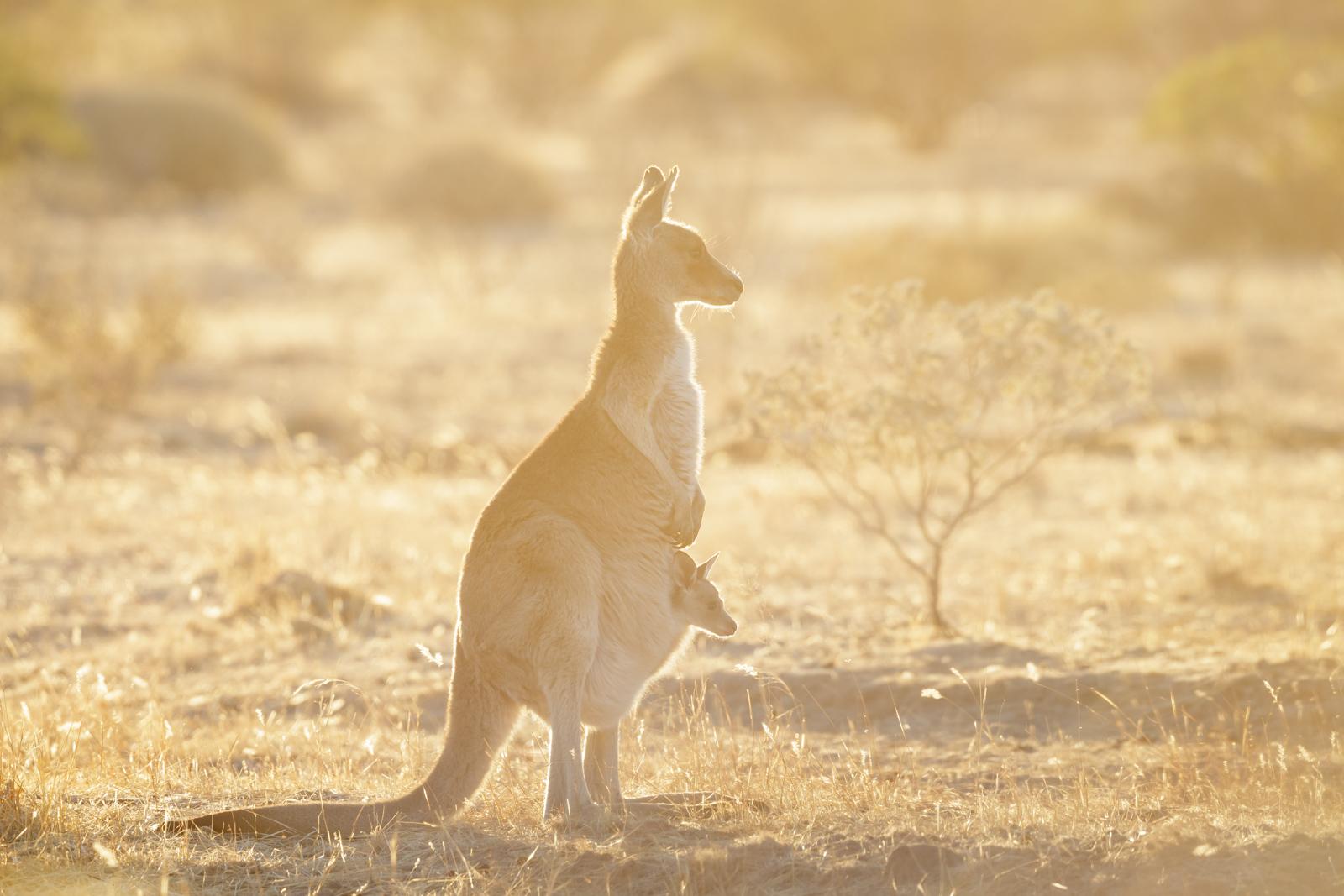Grey Kangaroo_-7754.jpg