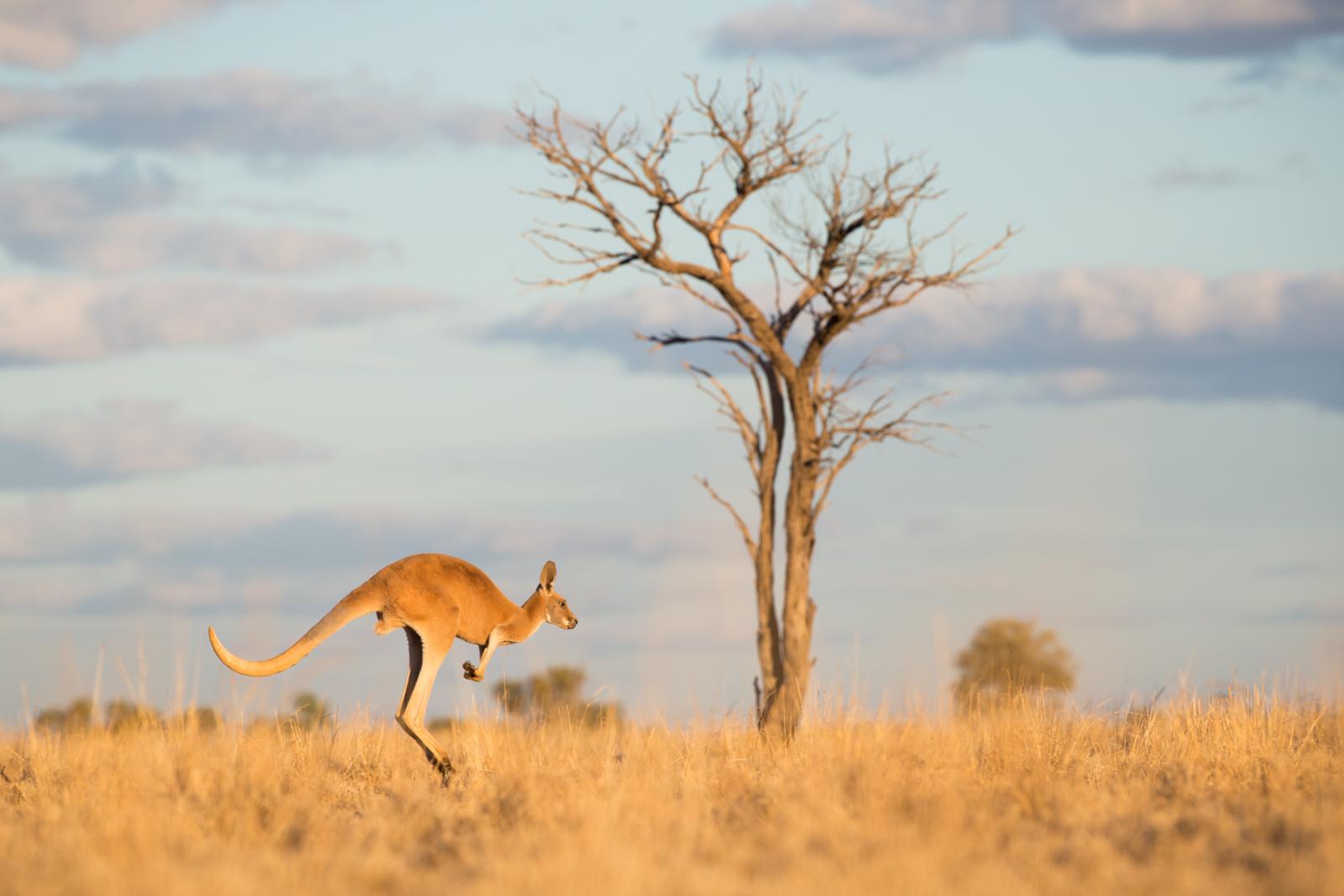 Red Kangaroo ©David Stowe-0443.jpg