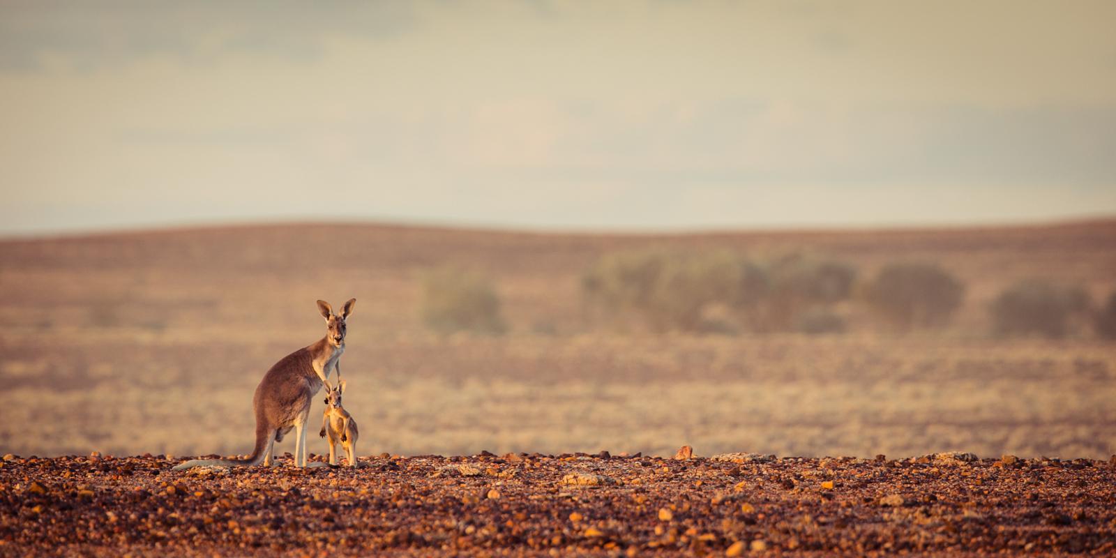 Red Kangaroo ©David Stowe-0480.jpg