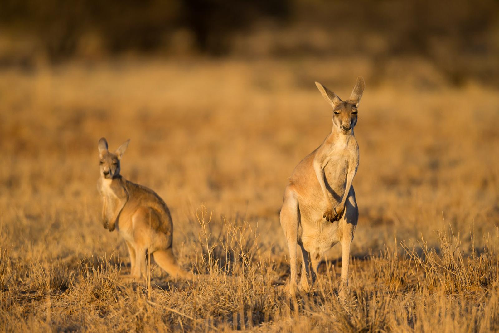 Red Kangaroo_David Stowe-7476.jpg