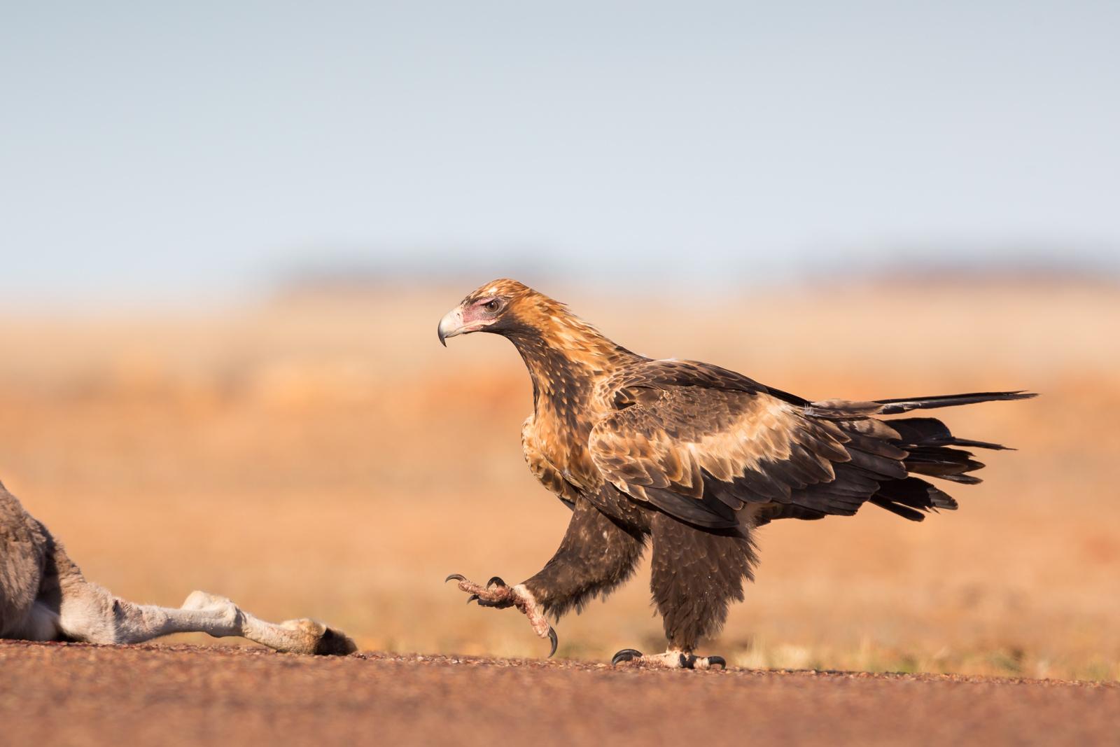 Wedge-tailed Eagle_David Stowe-3330.jpg