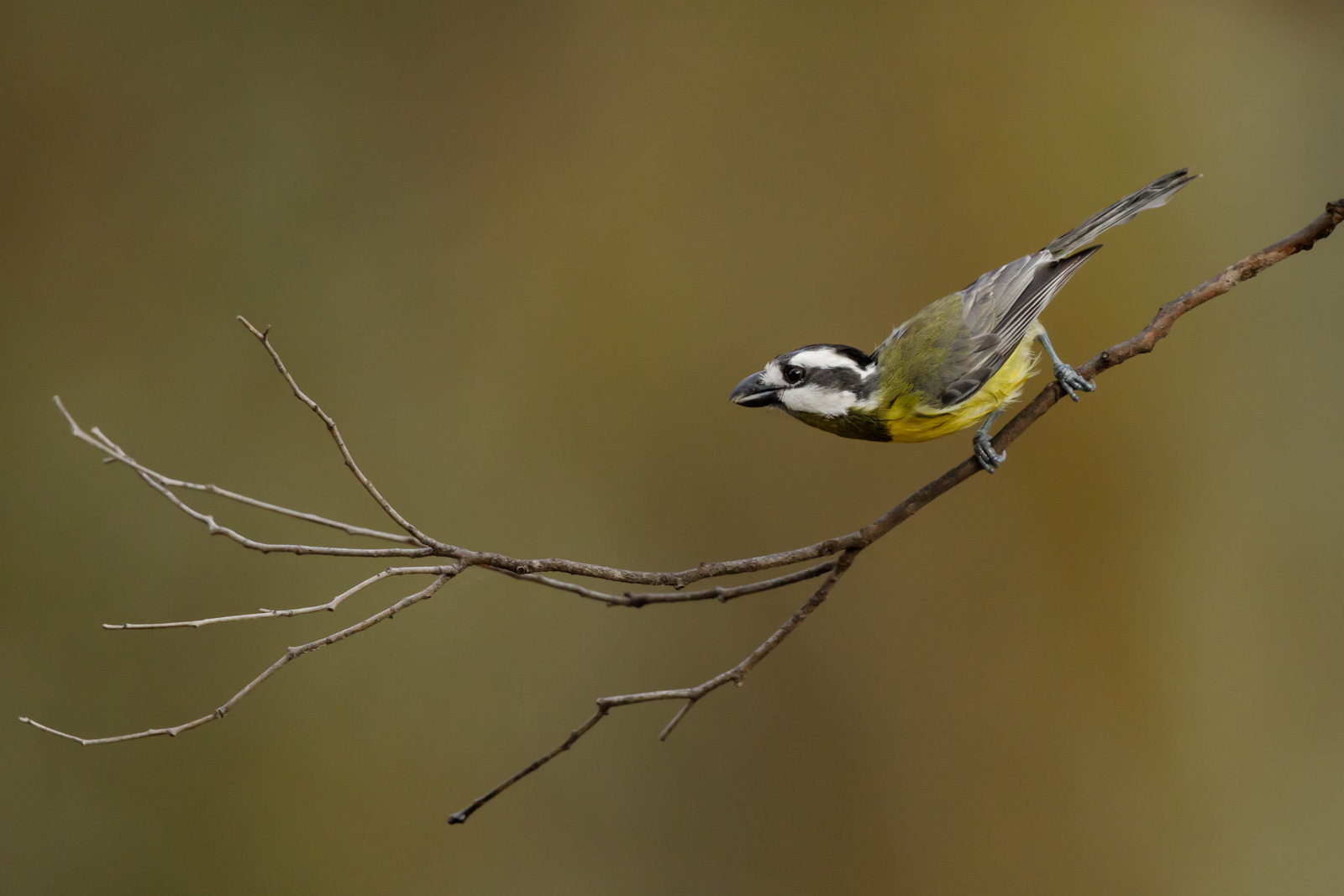 Crested Shrike-Tit_David Stowe-2284.jpg