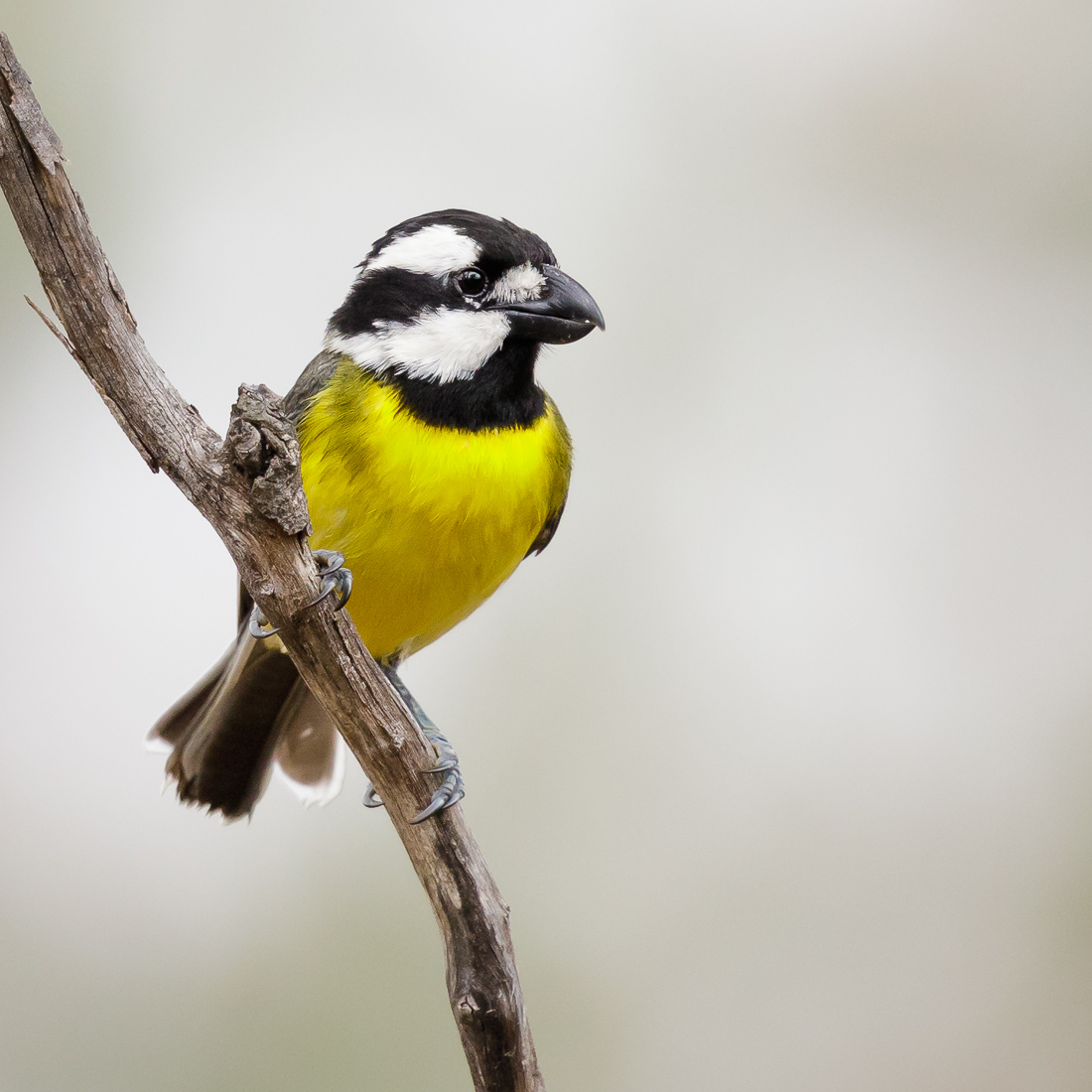 Crested Shrike-Tit_David Stowe-2098.jpg