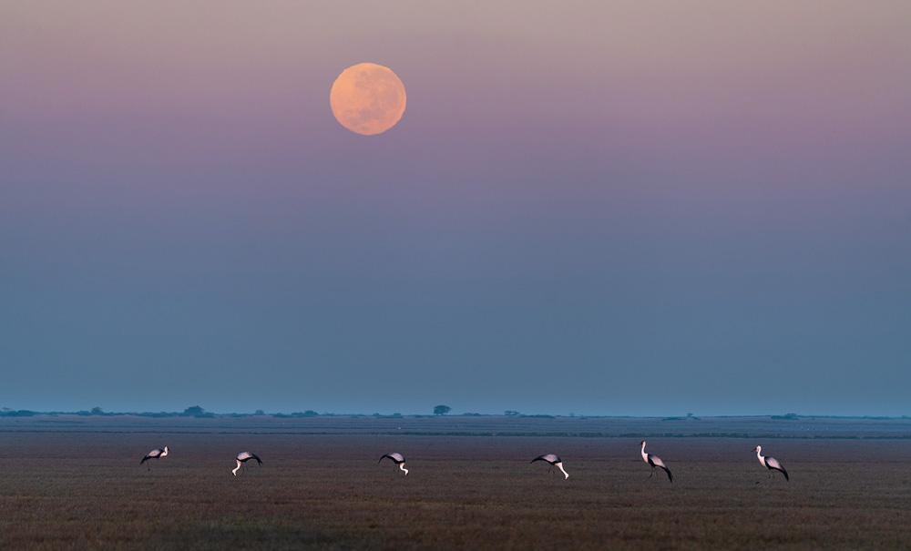 Wattled Crane & Moon_Frank Steenhuisen_DSC00618.jpg