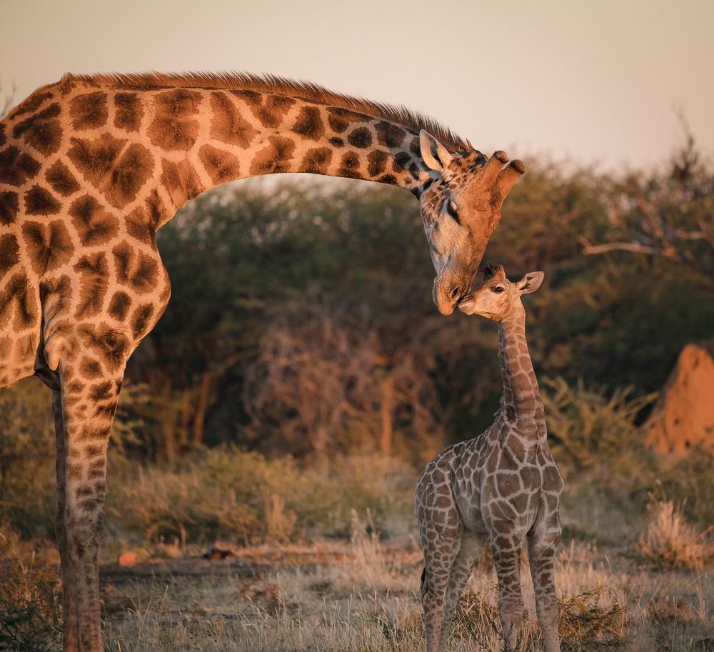 Giraffe-021.jpg