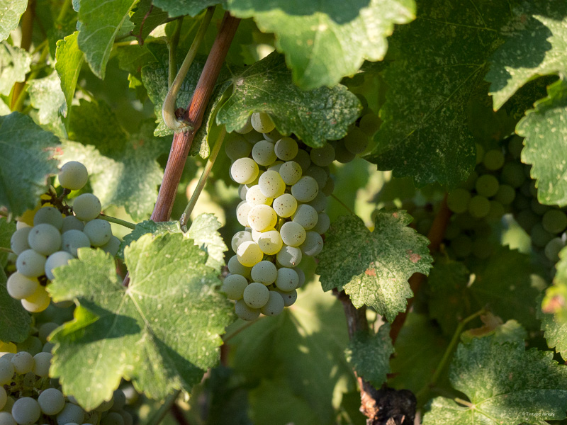 Pinot Gris grapes on vine