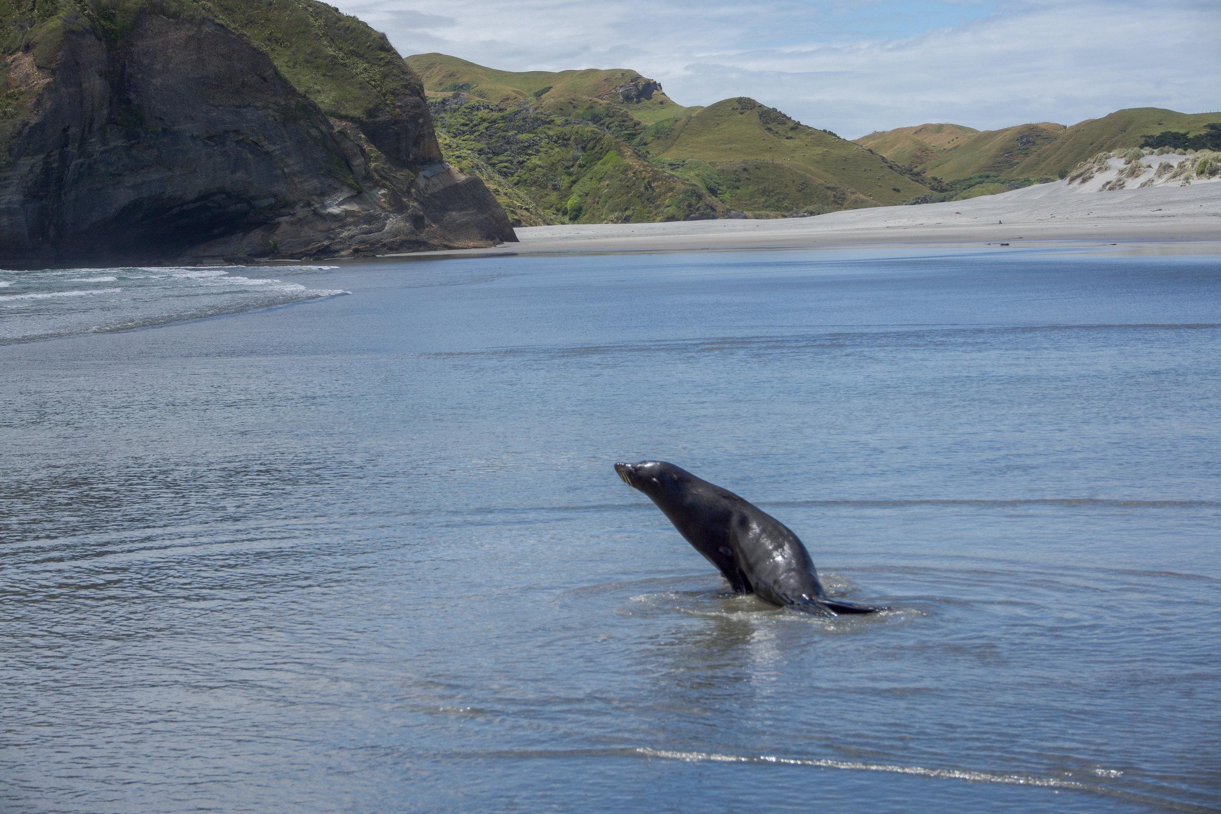 Seal at Wharariki