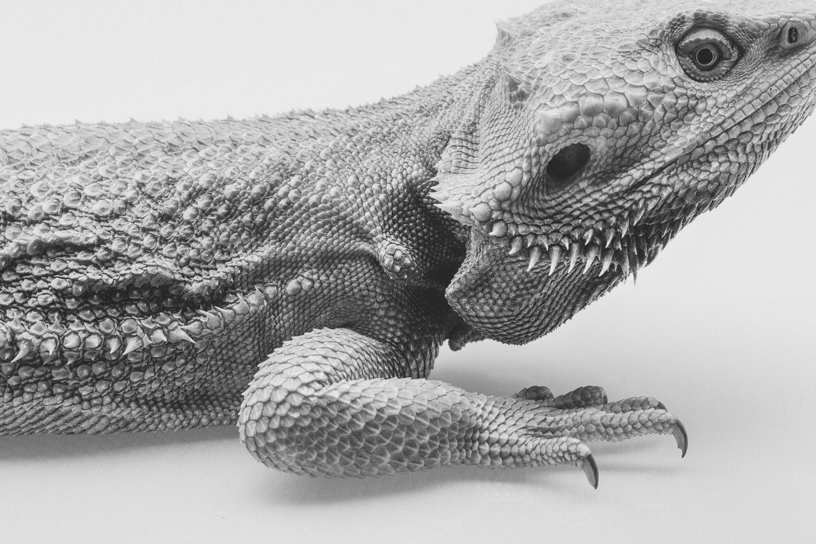 bearded-dragon