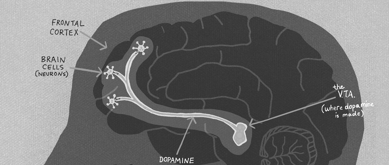 The limbic reward system- how dopamine travels in your brain.
