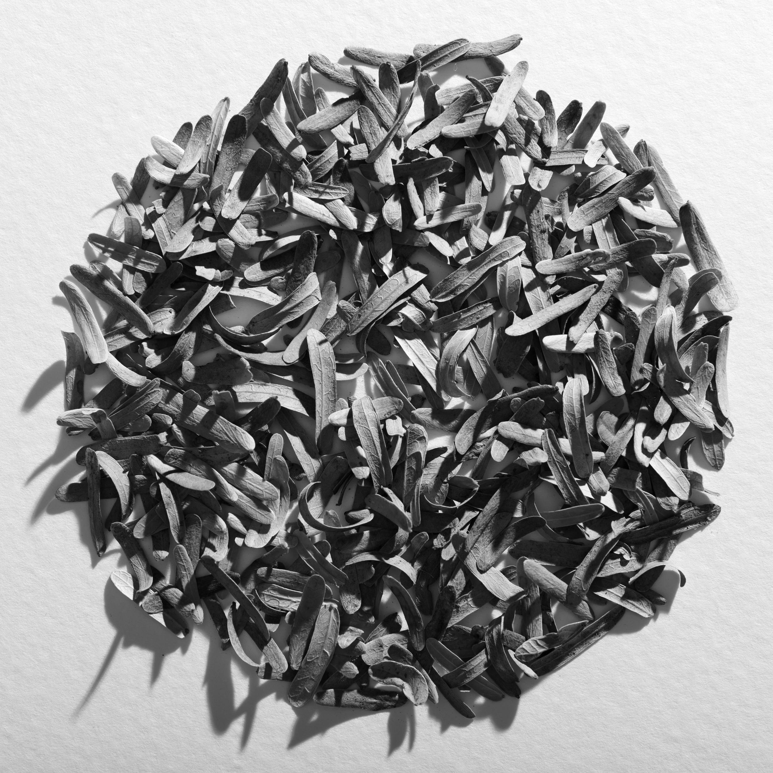 Mesquite petals, circle, 2016