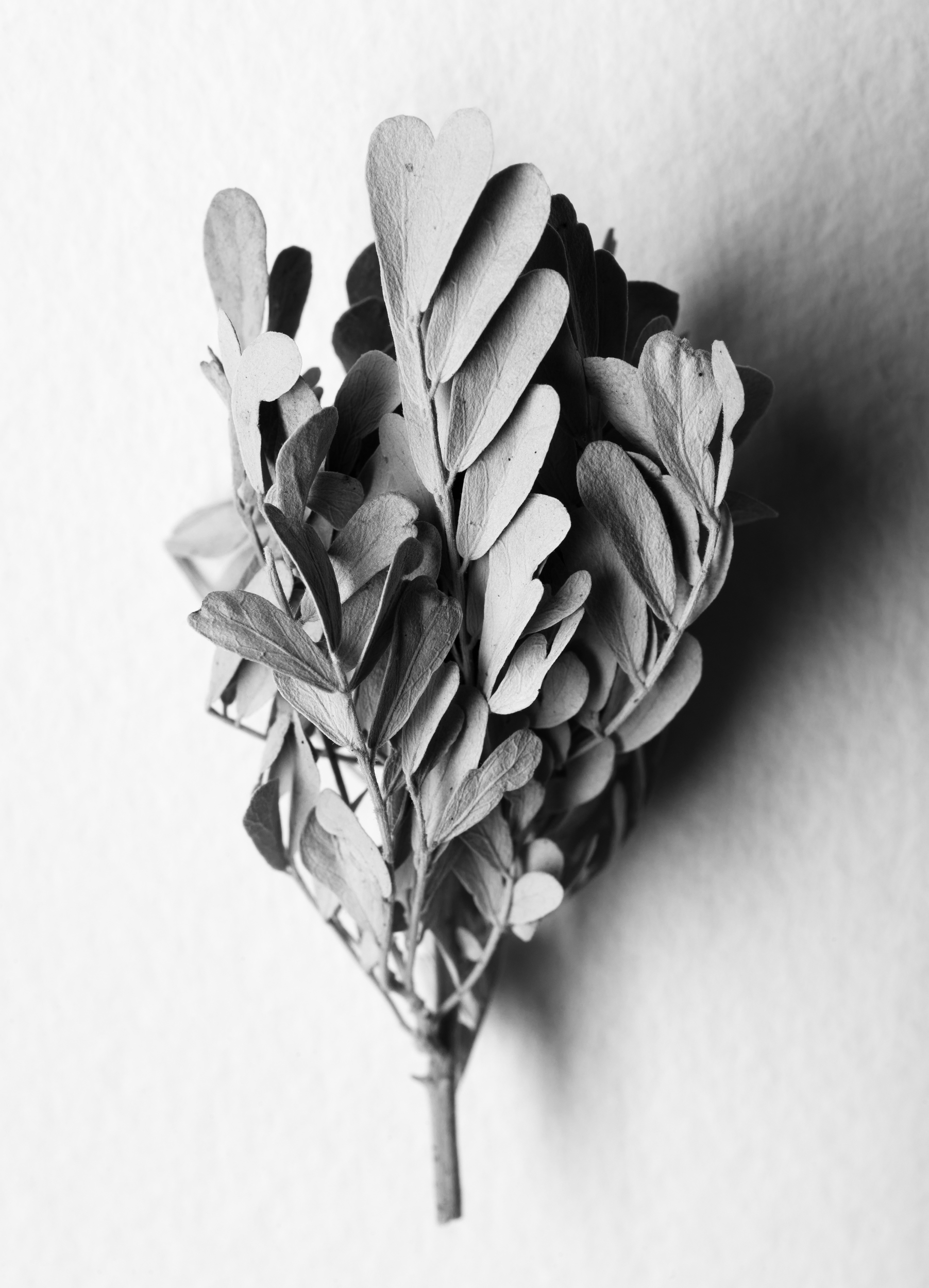 Ironwood leaf cluster, 2016