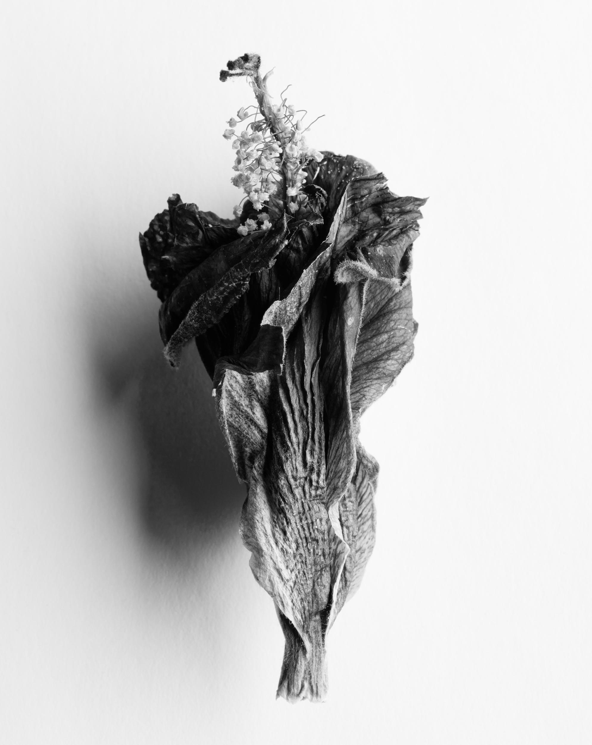Hibiscus flower, 2018