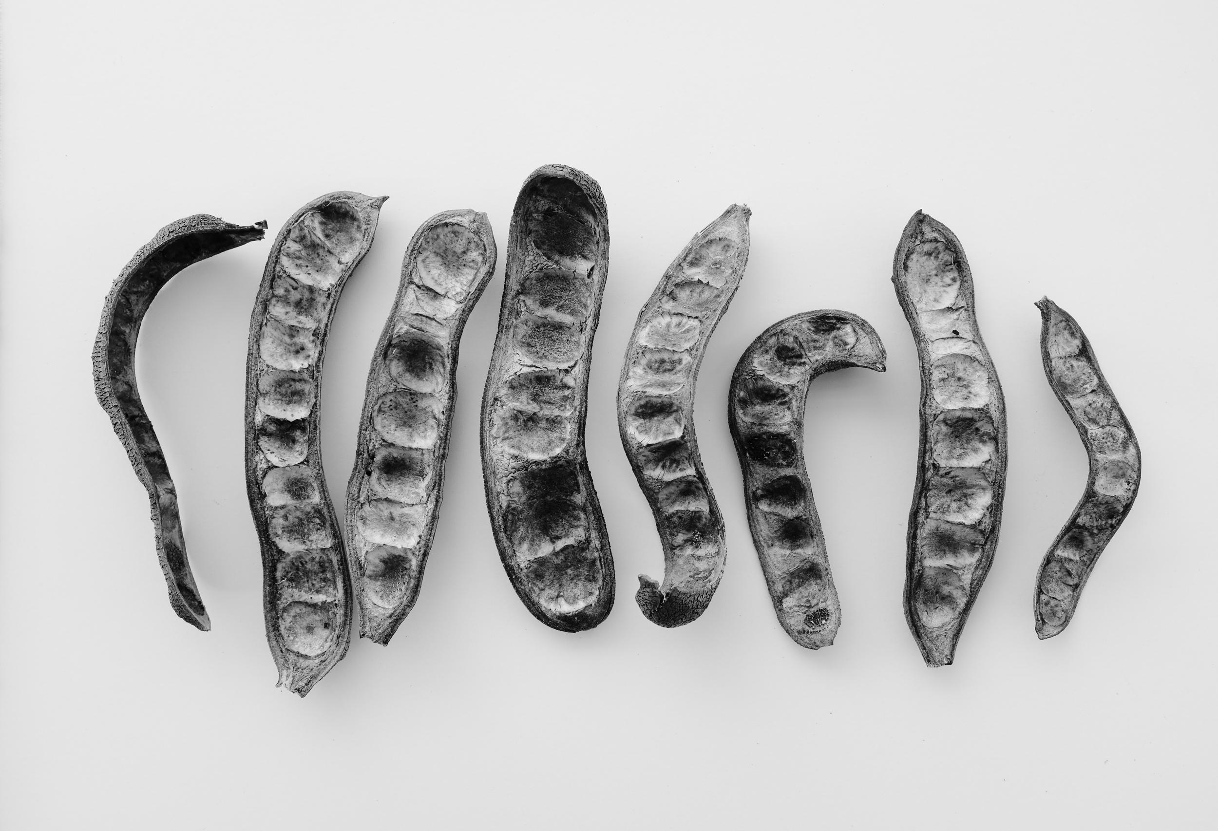 Texas ebony pods, 2015