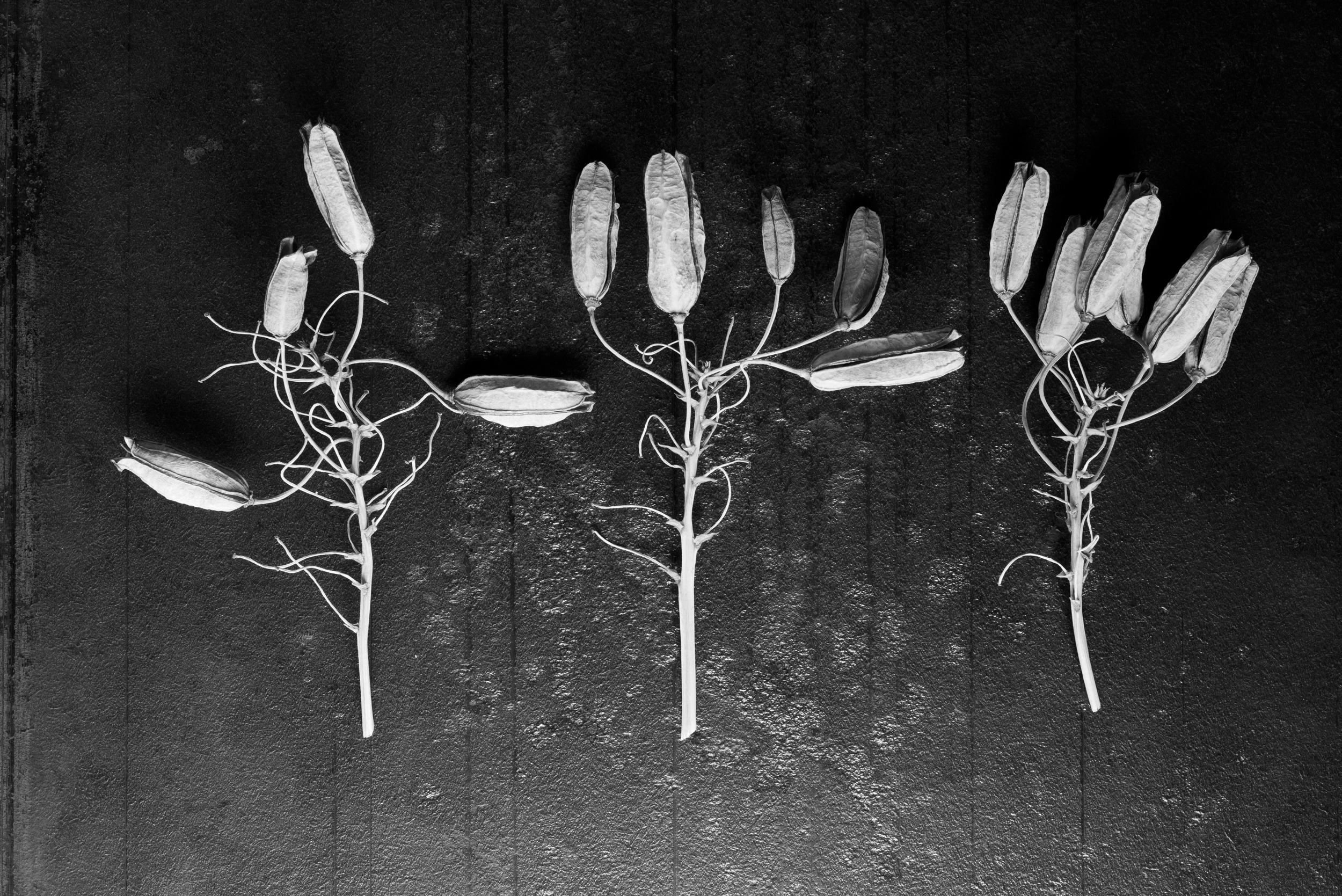 Aloe pod stems on steel, 2016
