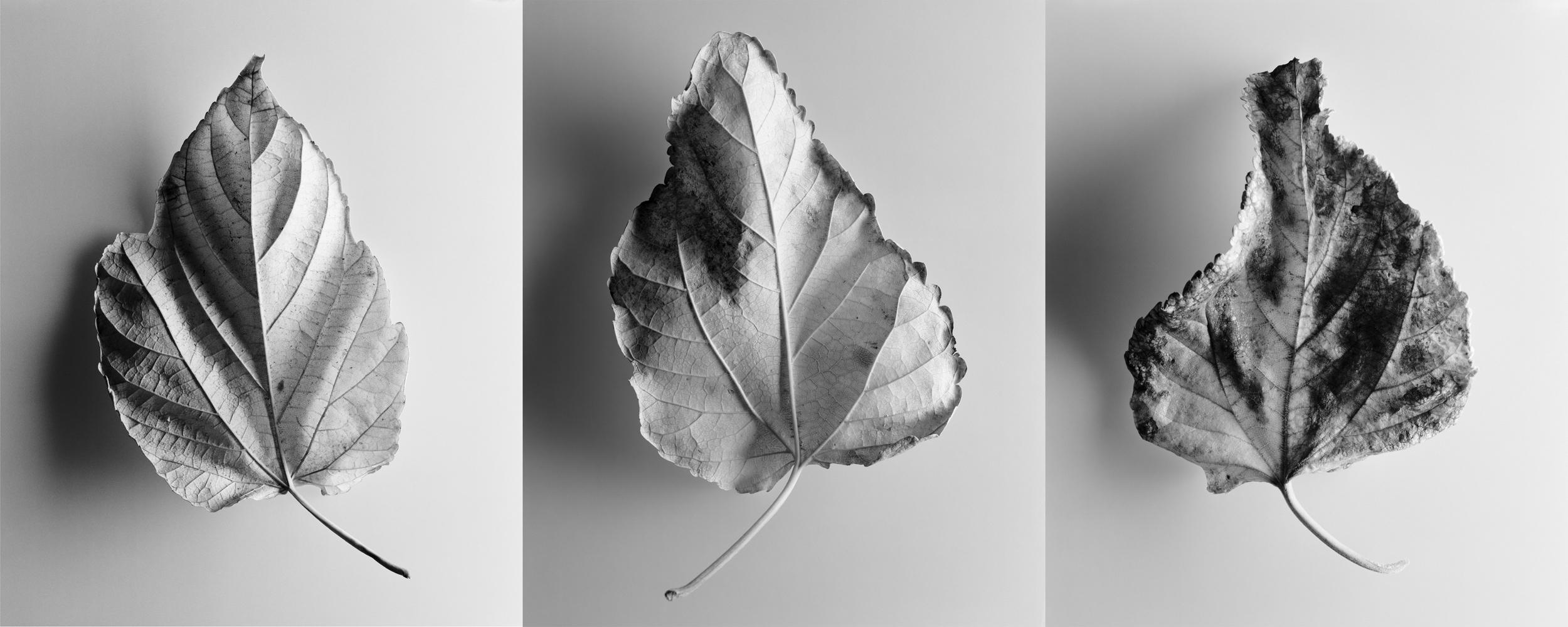 Leaf triptych 2, circa 1990