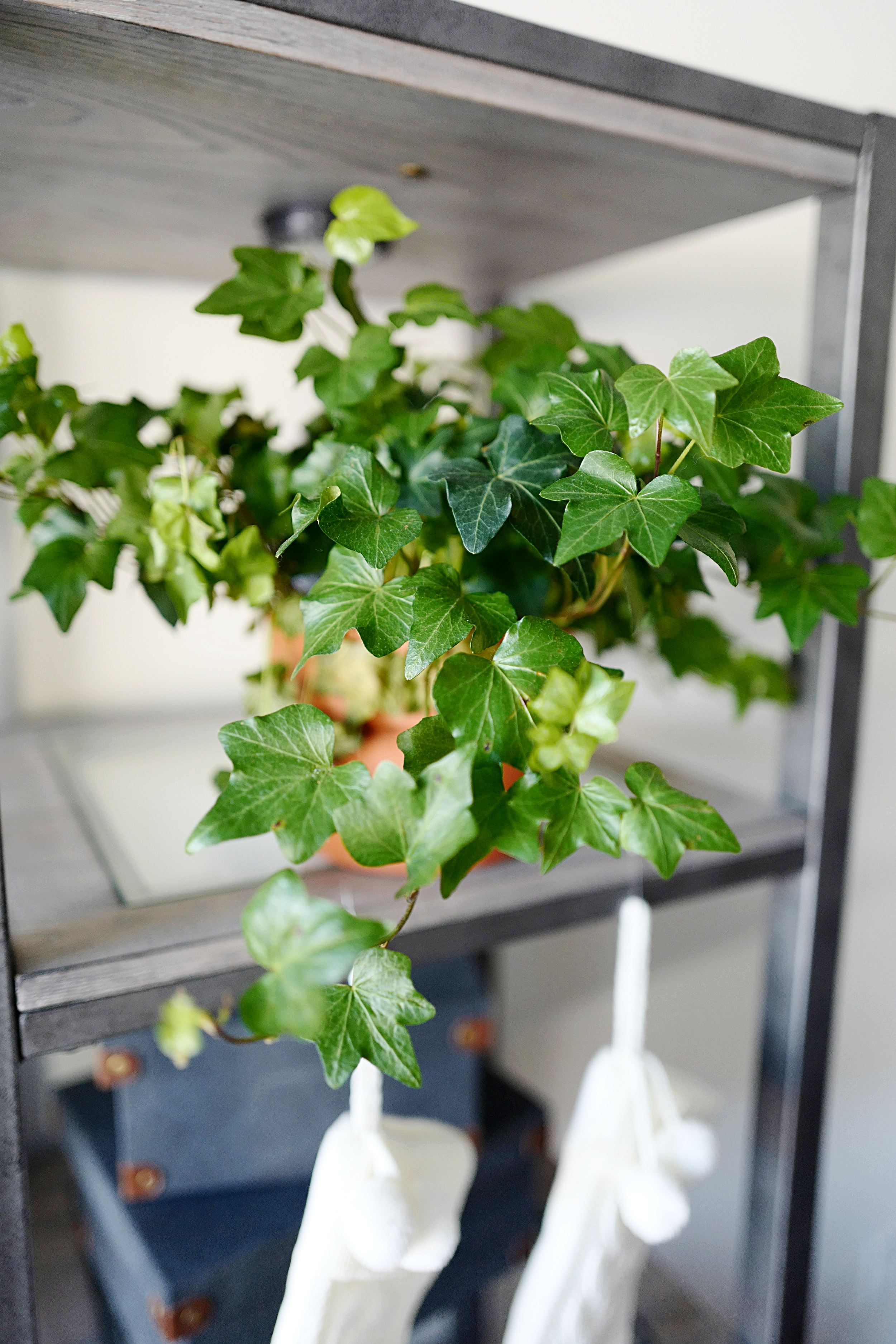 Top 5 House Plants- Ivy - Home- A Briutiful Life