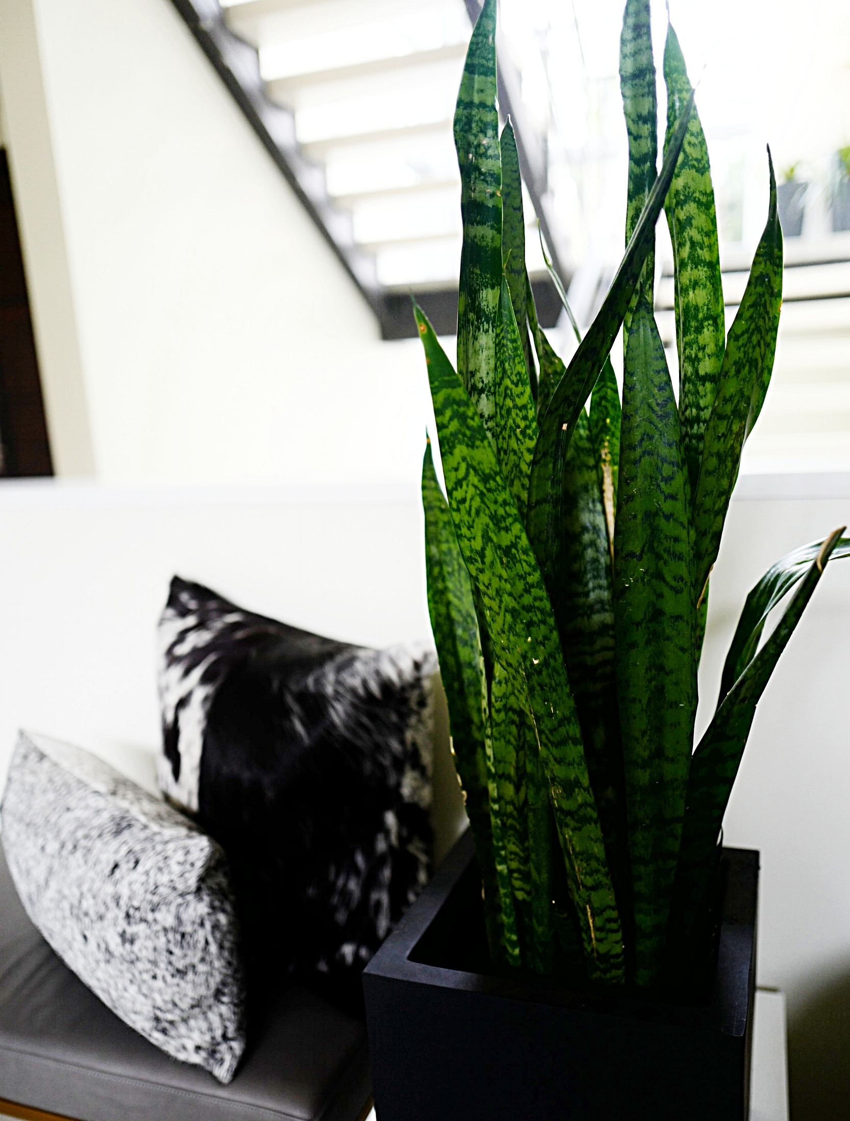 Top 5 House Plants- Snake Plant- Home- A Briutiful Life