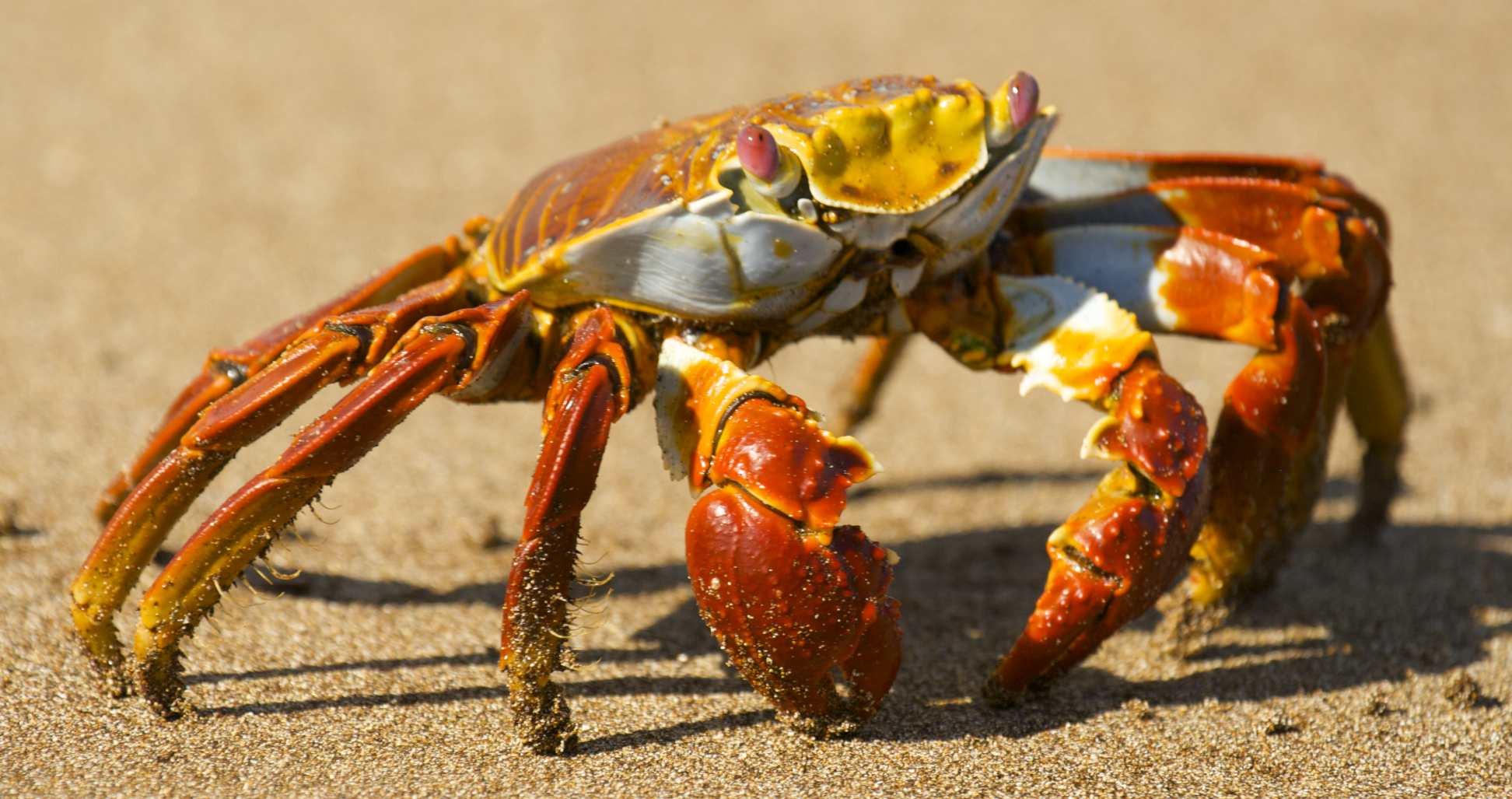 Sally Lightfoot Crab at Waters Edge. Credit  Benjamin Jakabek/Flickr  (CC BY-NC-ND 2.0)