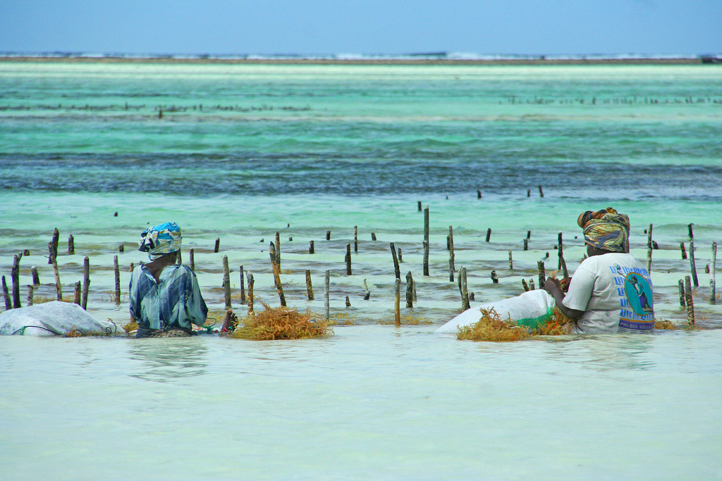 Belize could see a growth in seaweed harvesting - like seen here in Tanzania. Credit  Imke.stahlmann/Flickr (CC BY-SA 2.0)