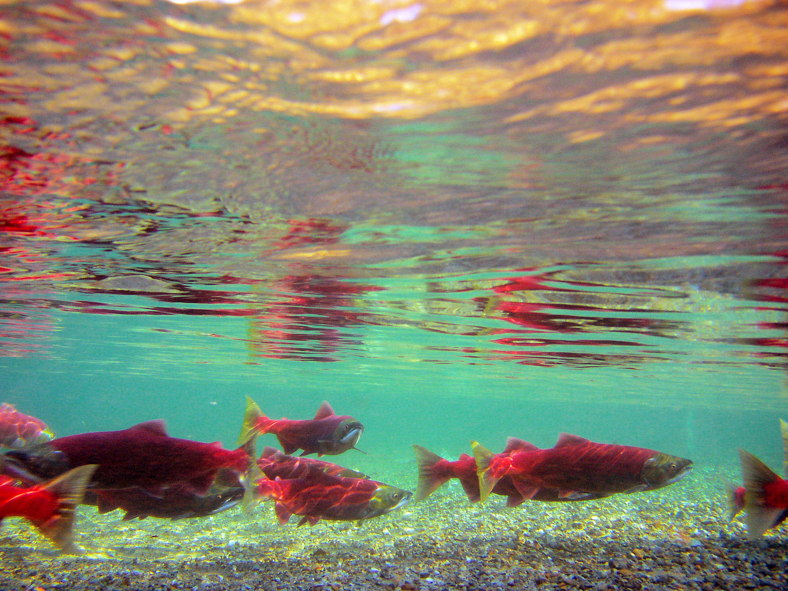 Like all salmon, these sockeye are predators. They do not naturally live off plants. Credit NPS / D. Young (Public Domain)