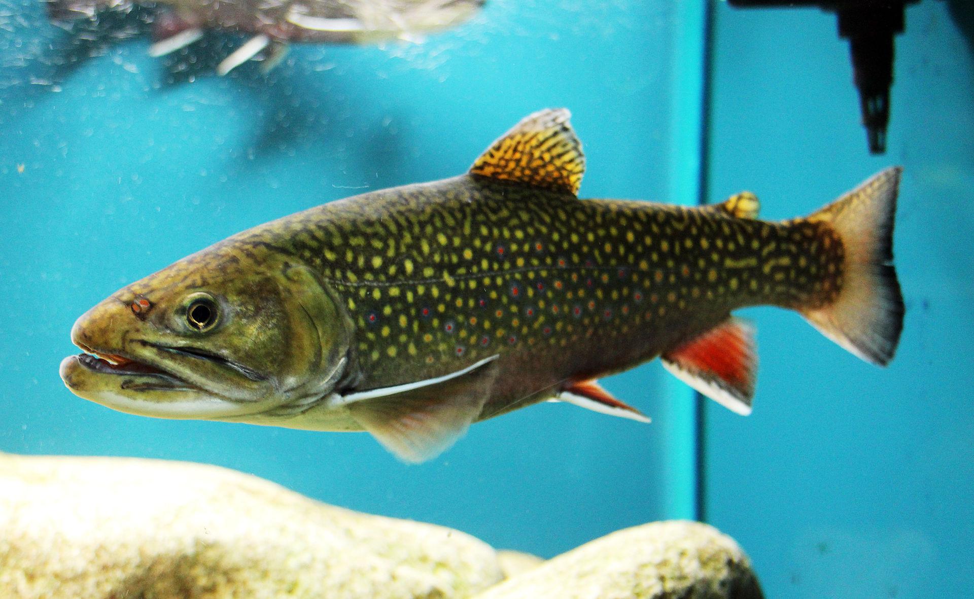 Brook Trout. Credit  Karelj/Wikimedia (Public Domain)