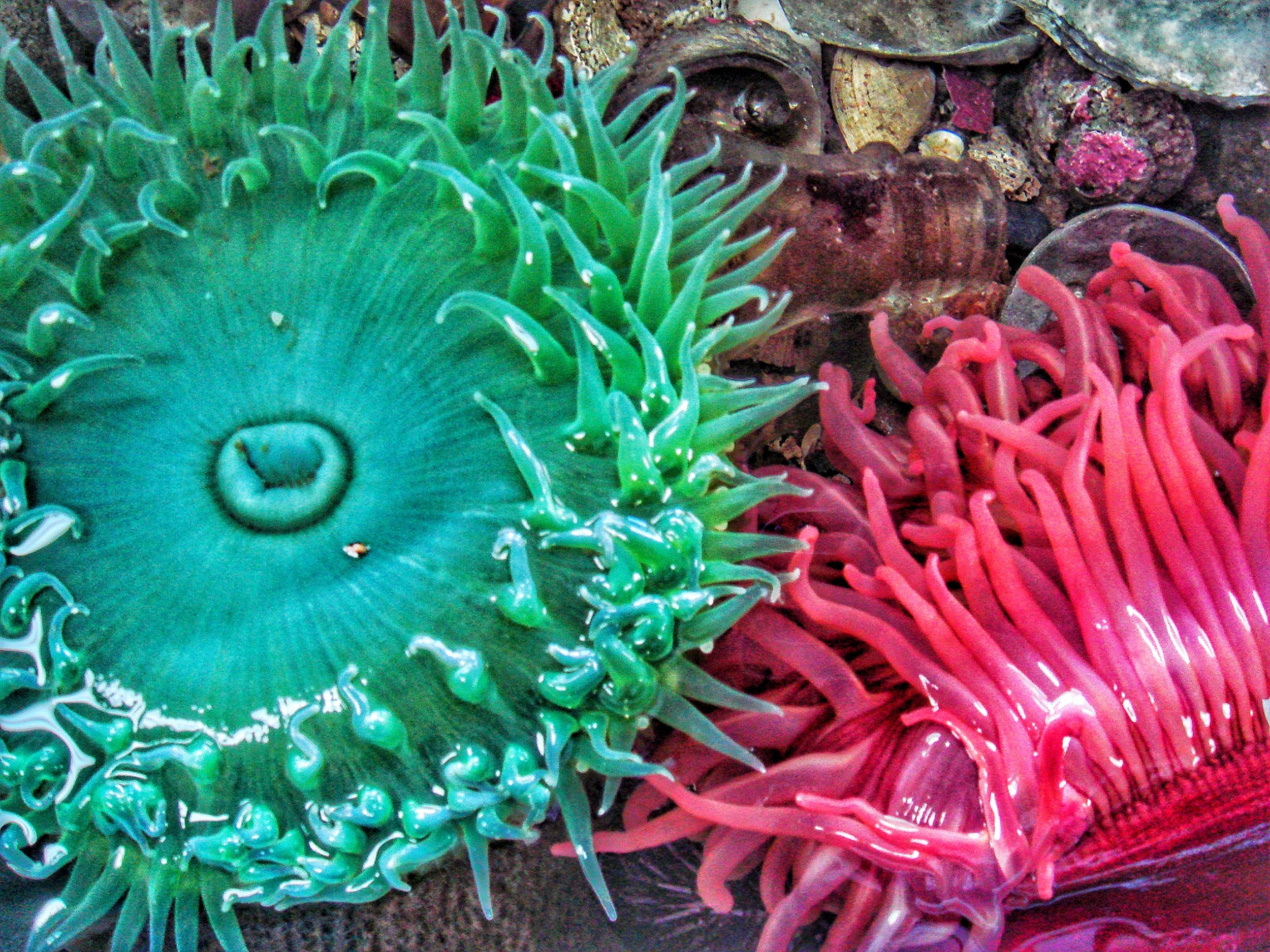 A couple of different species of sea anemone in a rock pool in Bamfield, British Columbia, Canada. The image has been enhanced to show some of the details of the anemone's body. Credit Samantha Andrews/Ocean Oculus